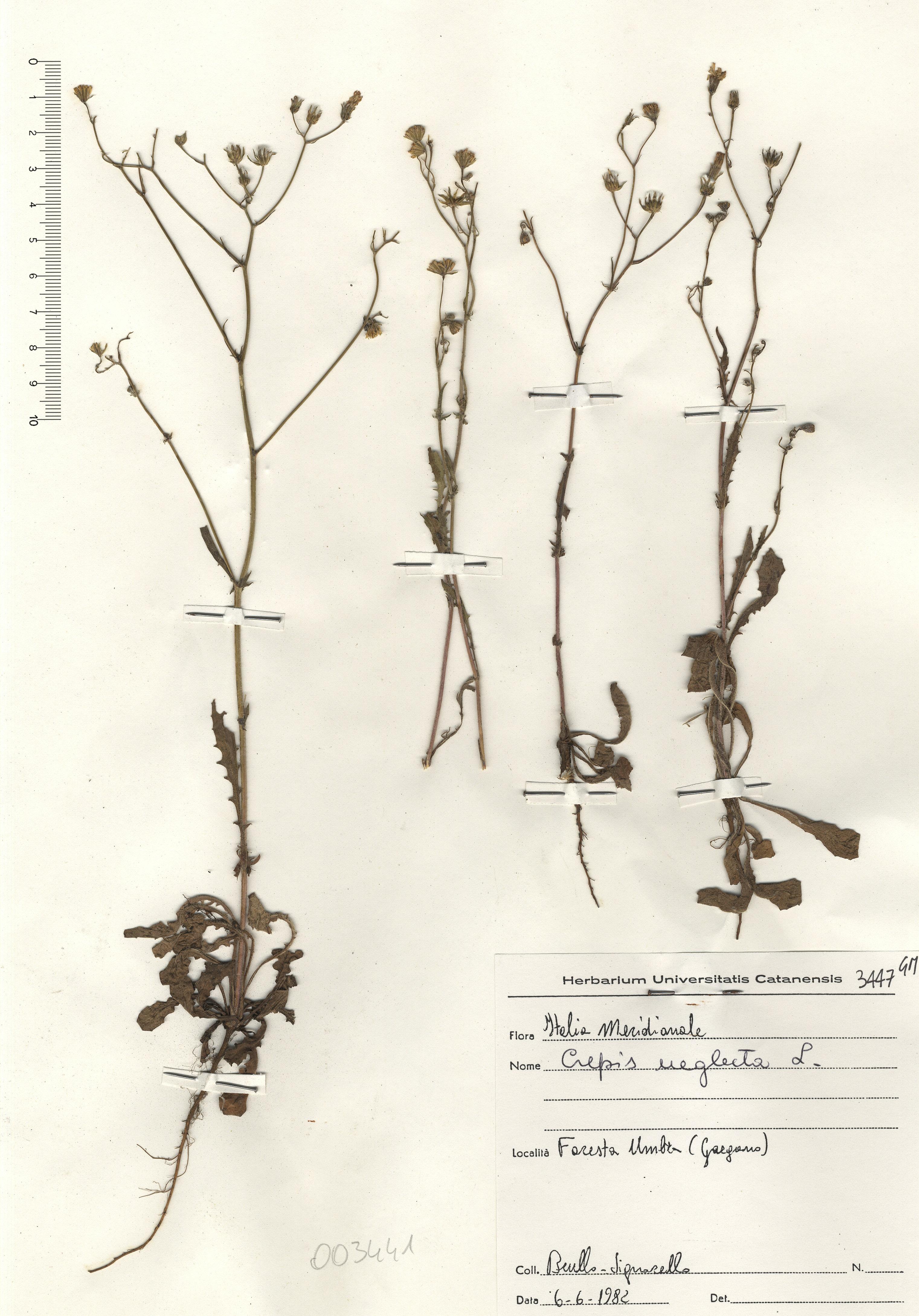 © Hortus Botanicus Catinensis - Herb. sheet 003441<br>