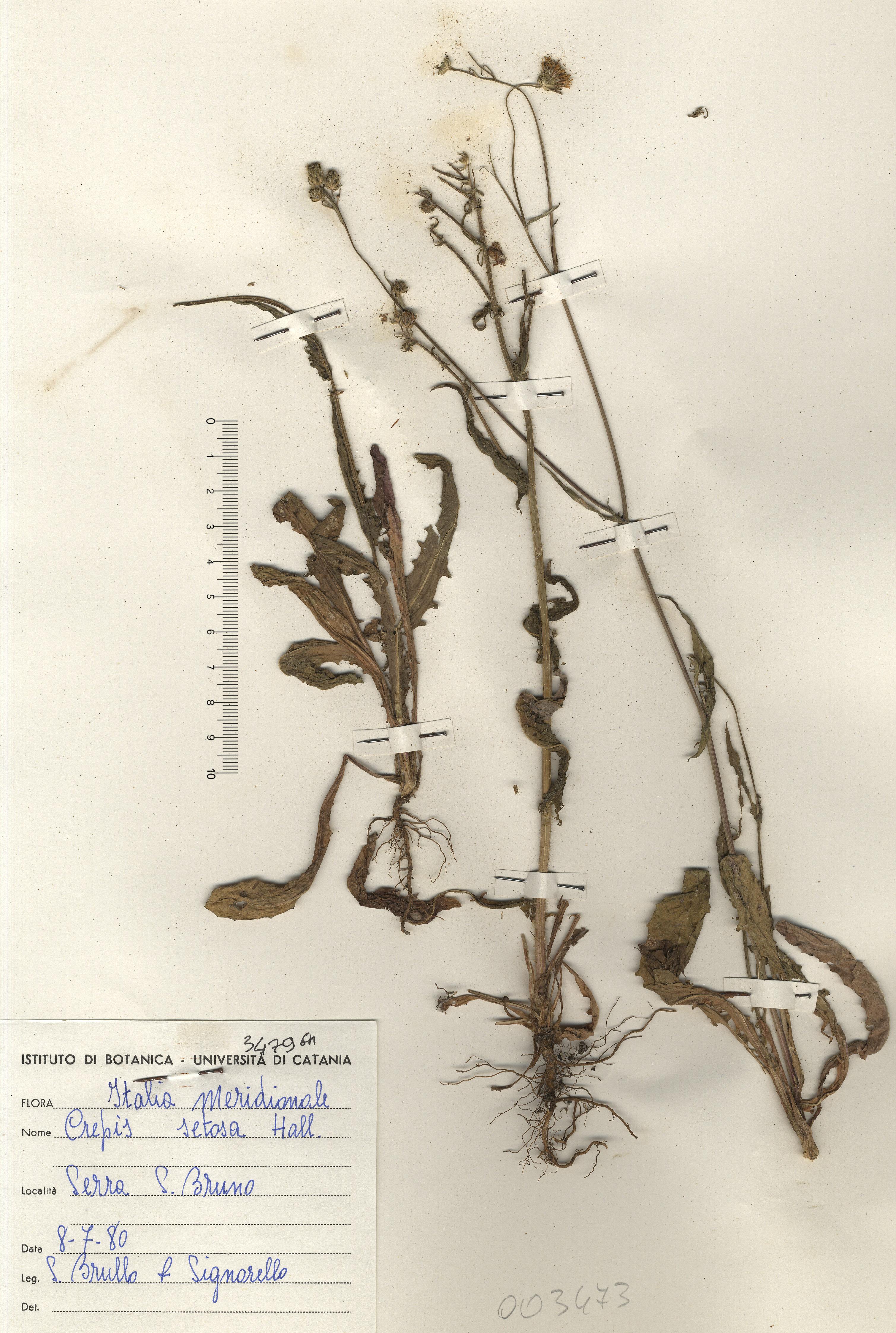 © Hortus Botanicus Catinensis - Herb. sheet 003473<br>