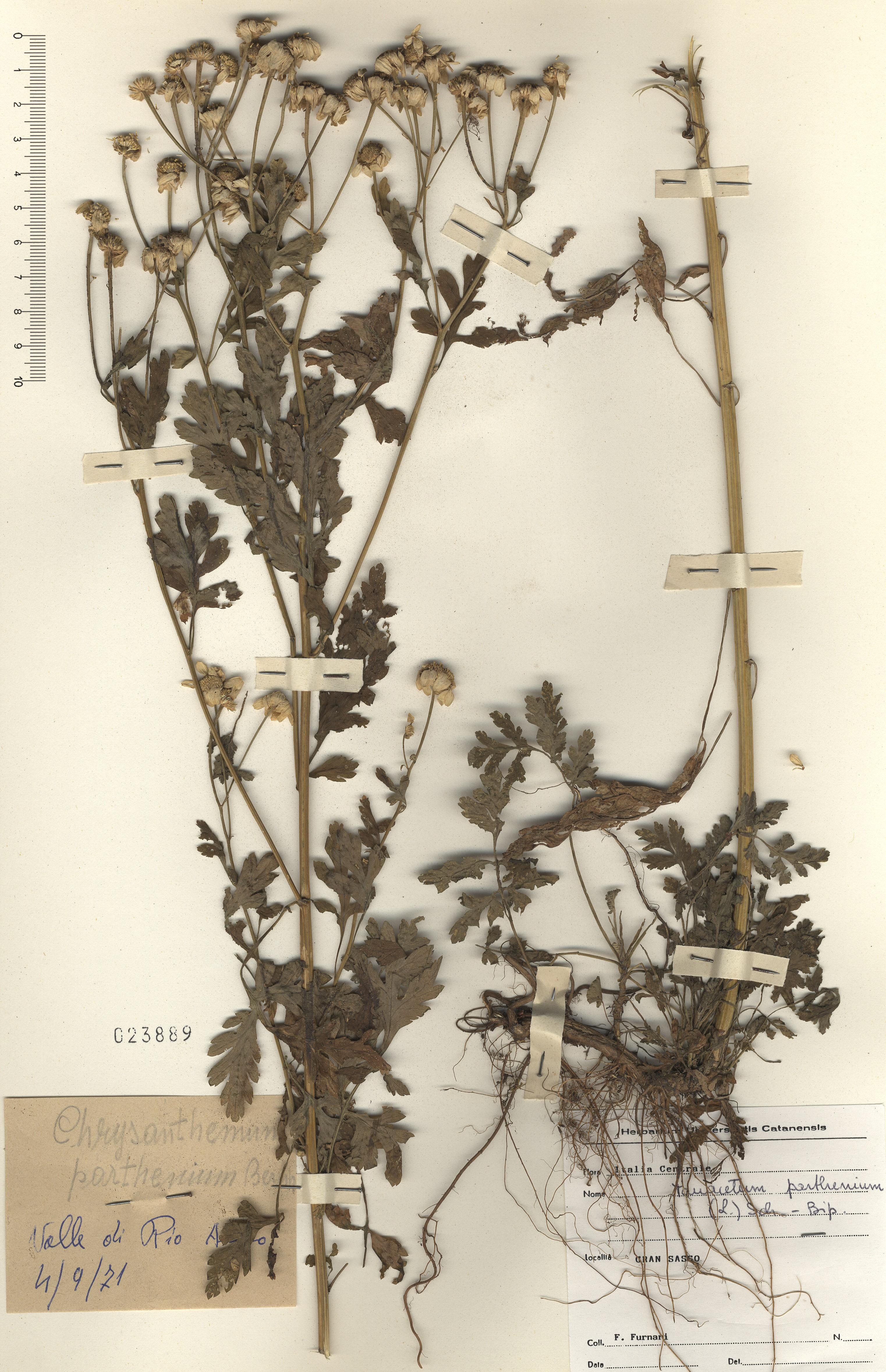 © Hortus Botanicus Catinensis - Herb. sheet 003663<br>