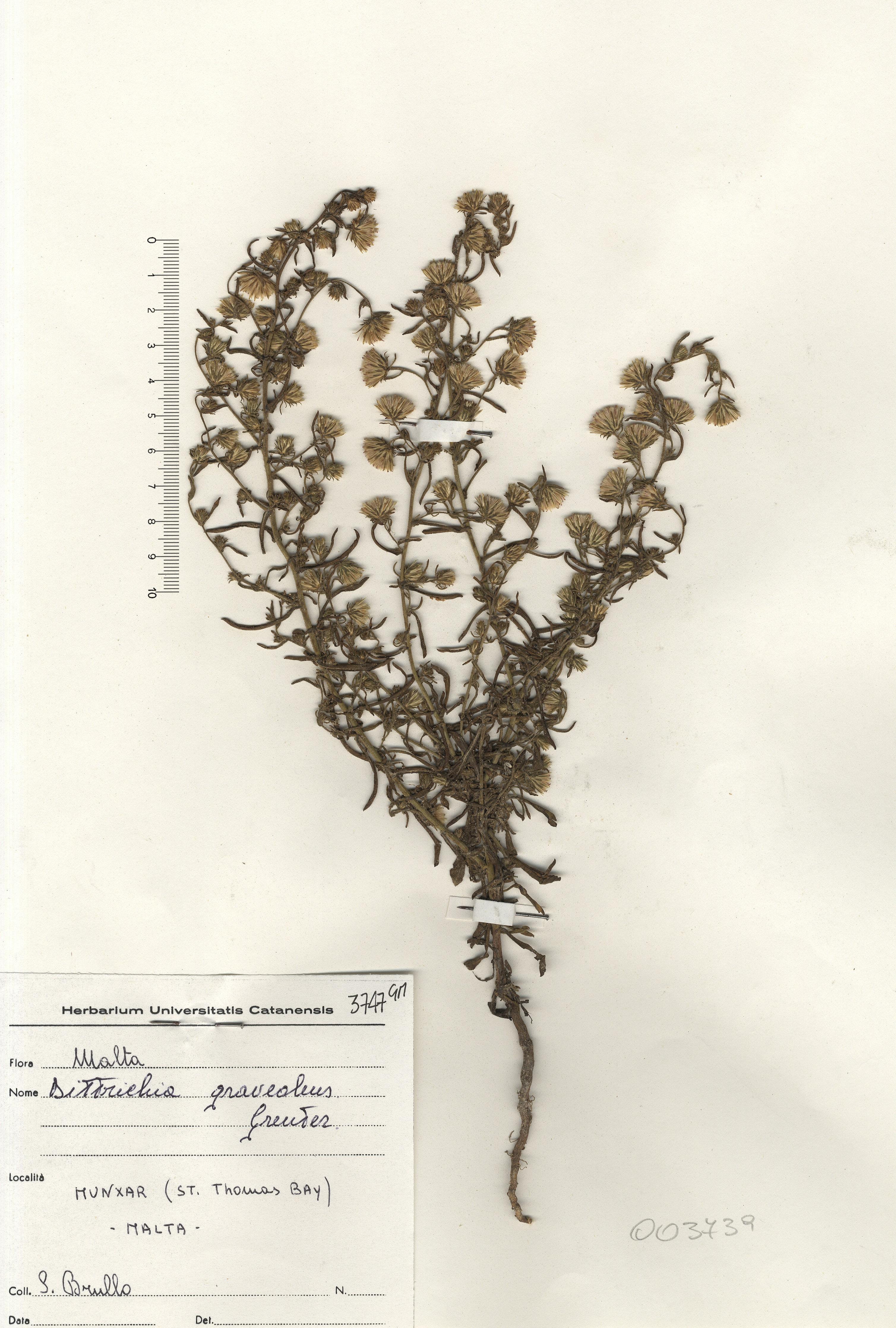 © Hortus Botanicus Catinensis - Herb. sheet 003739<br>
