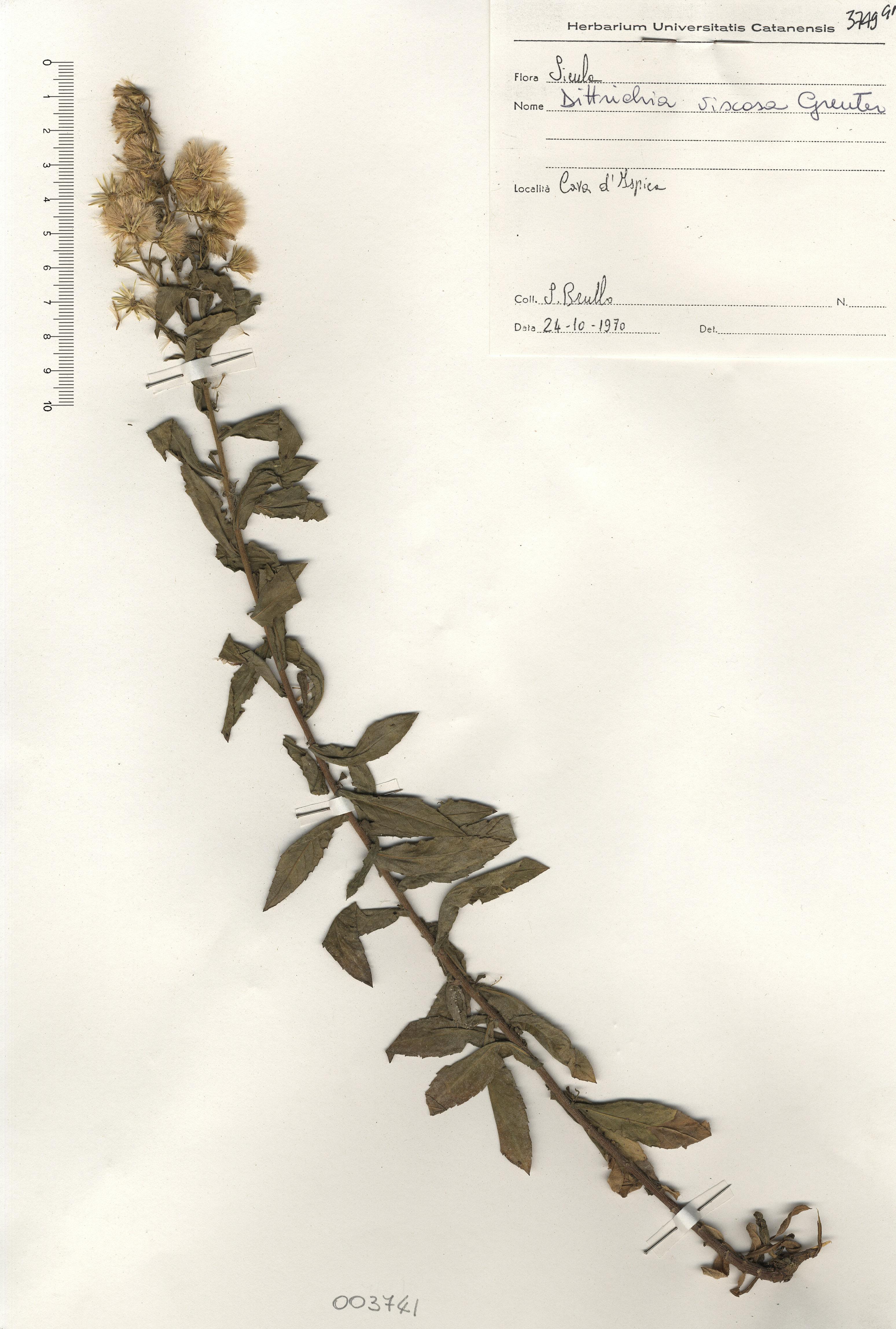 © Hortus Botanicus Catinensis - Herb. sheet 003741<br>