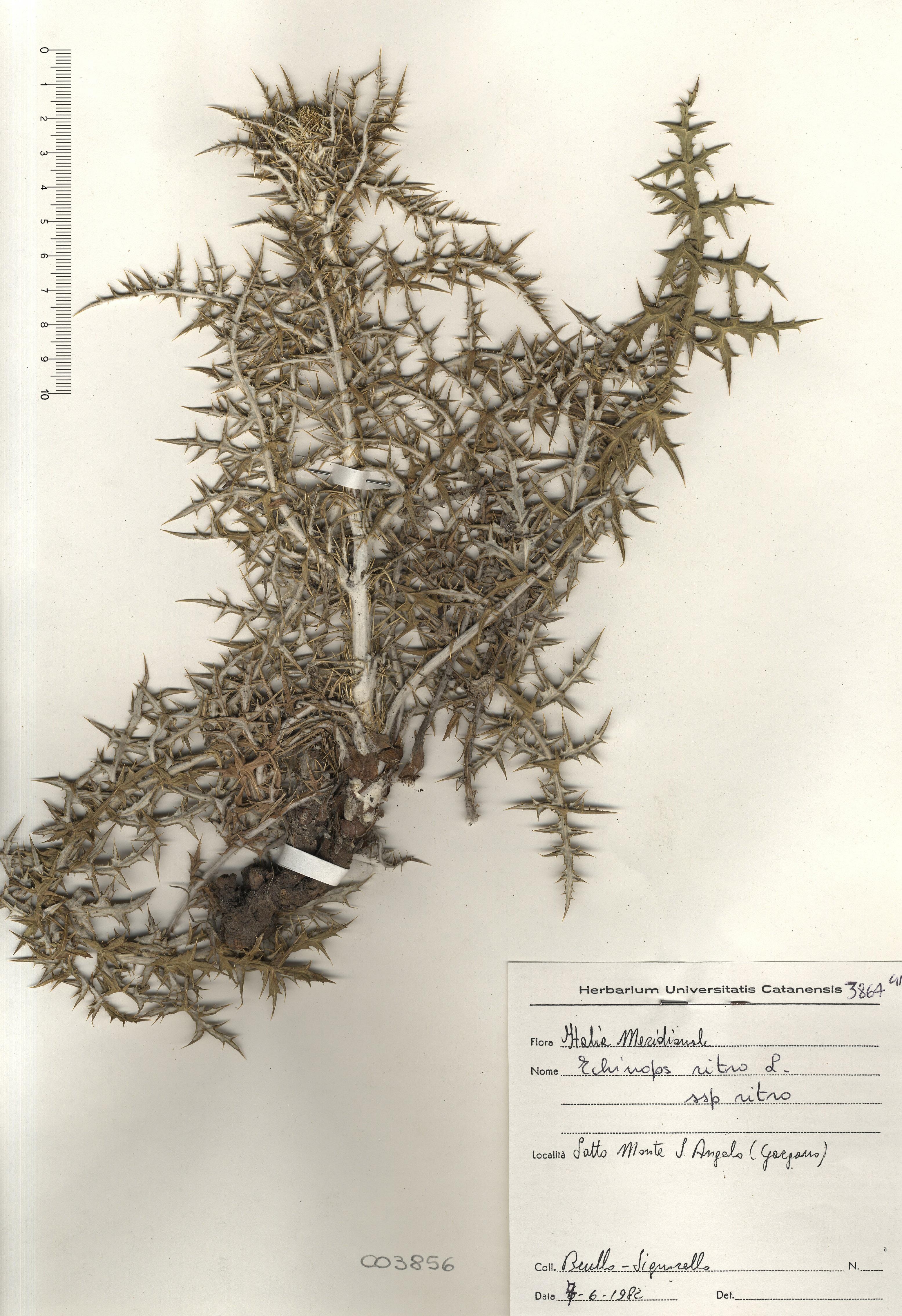 © Hortus Botanicus Catinensis - Herb. sheet 003856<br>
