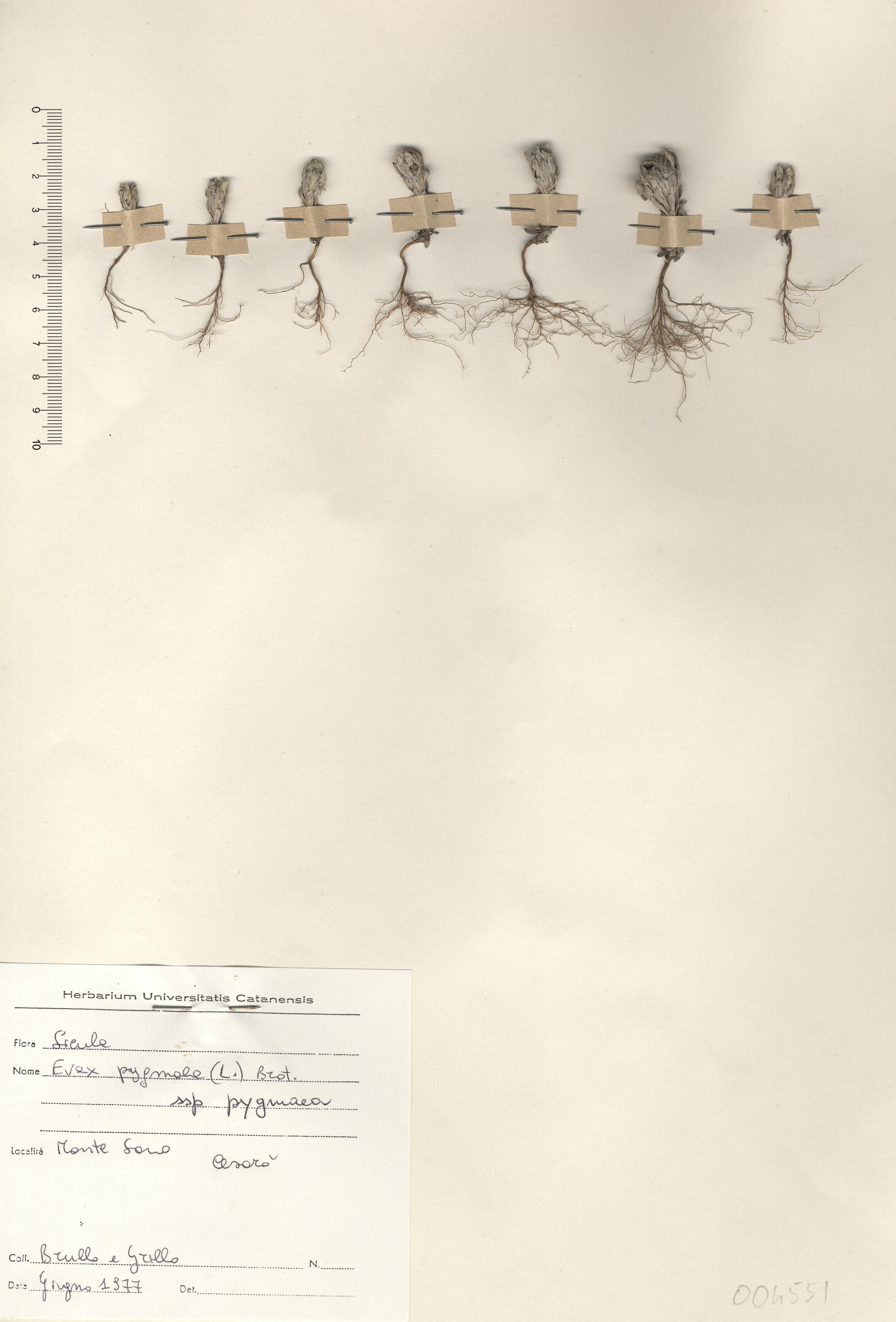 &copy; Hortus Botanicus Catinensis - Herb. sheet 004551<br>