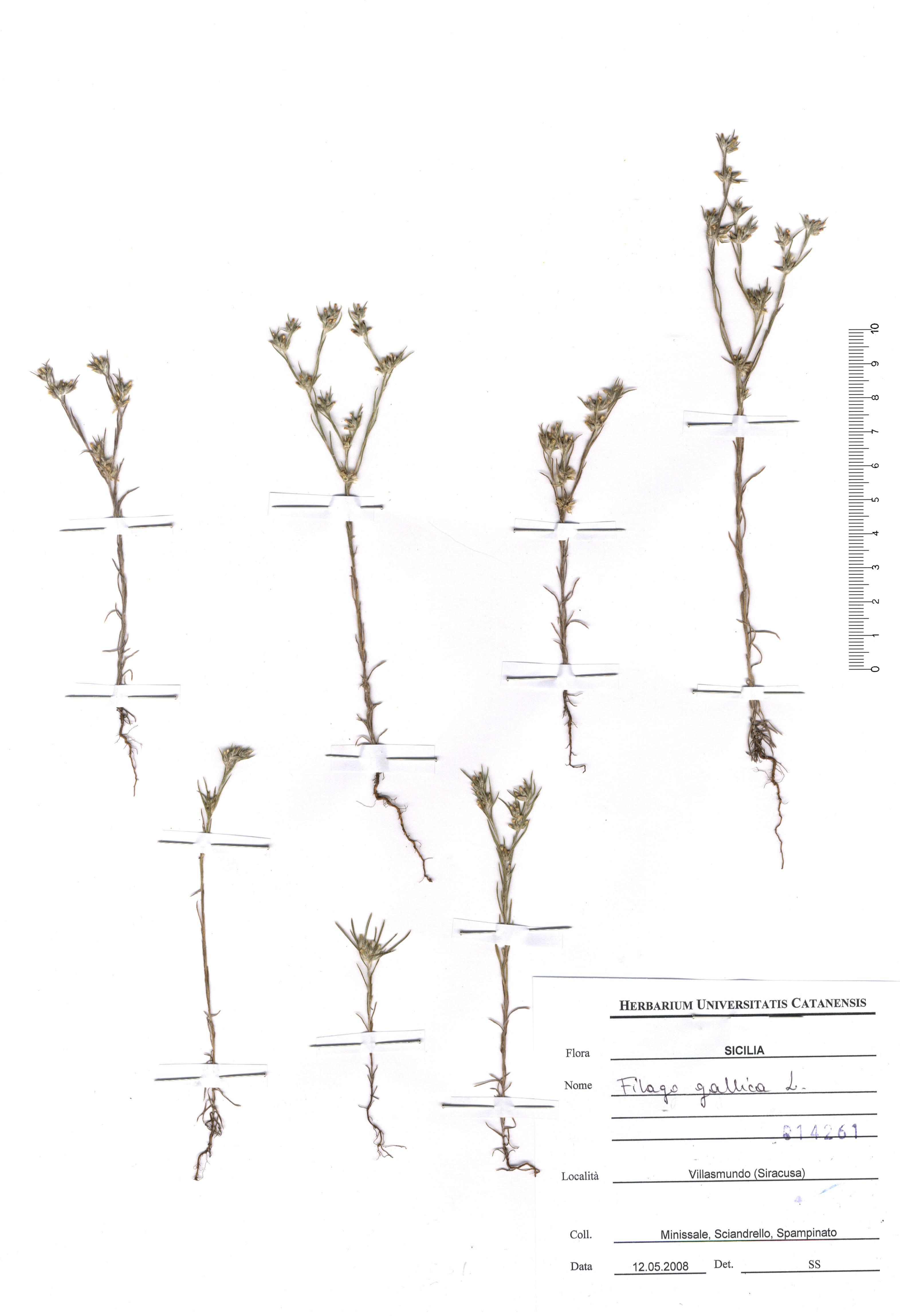 © Hortus Botanicus Catinensis - Herb. sheet 014261<br>