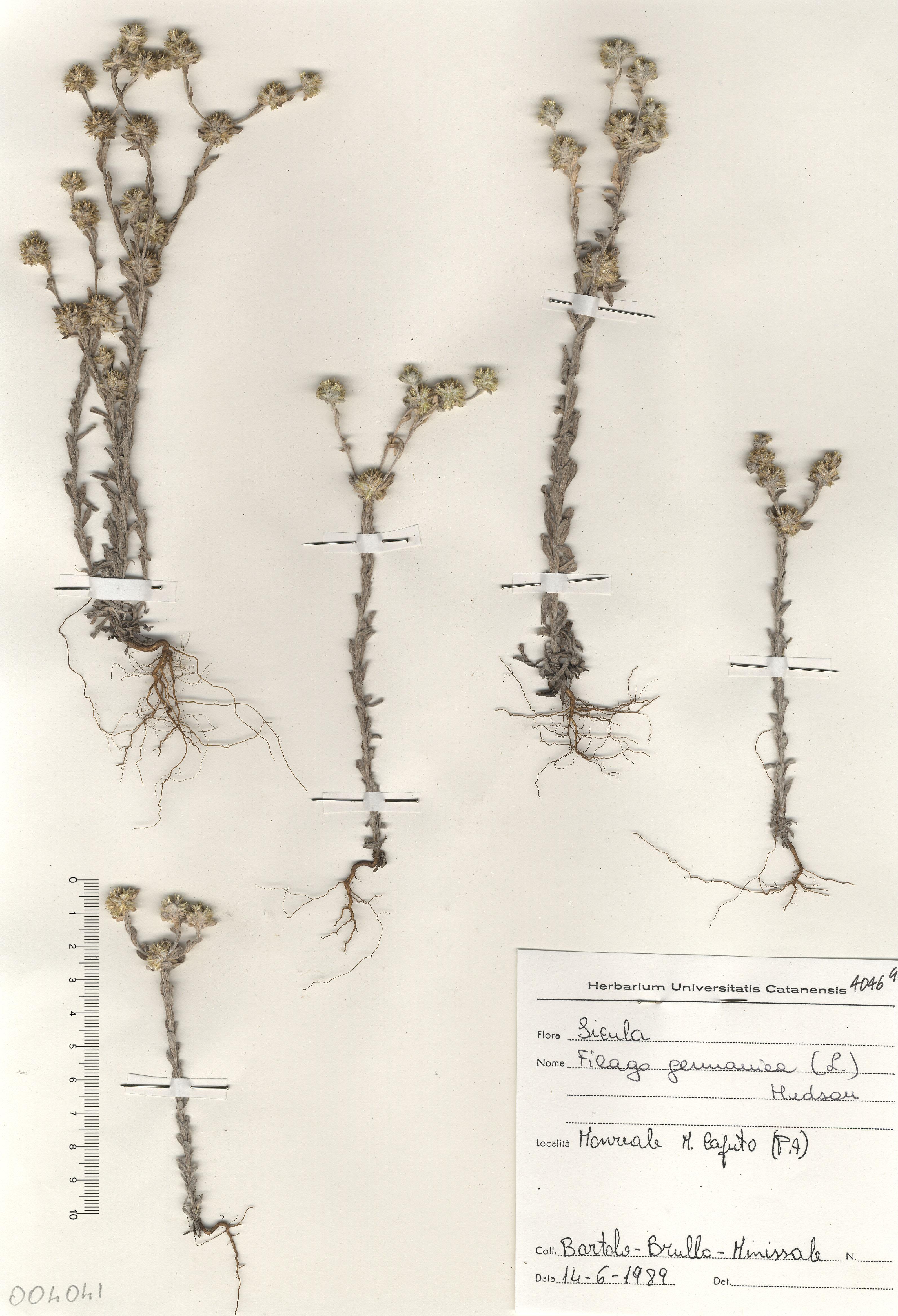 © Hortus Botanicus Catinensis - Herb. sheet 004041<br>