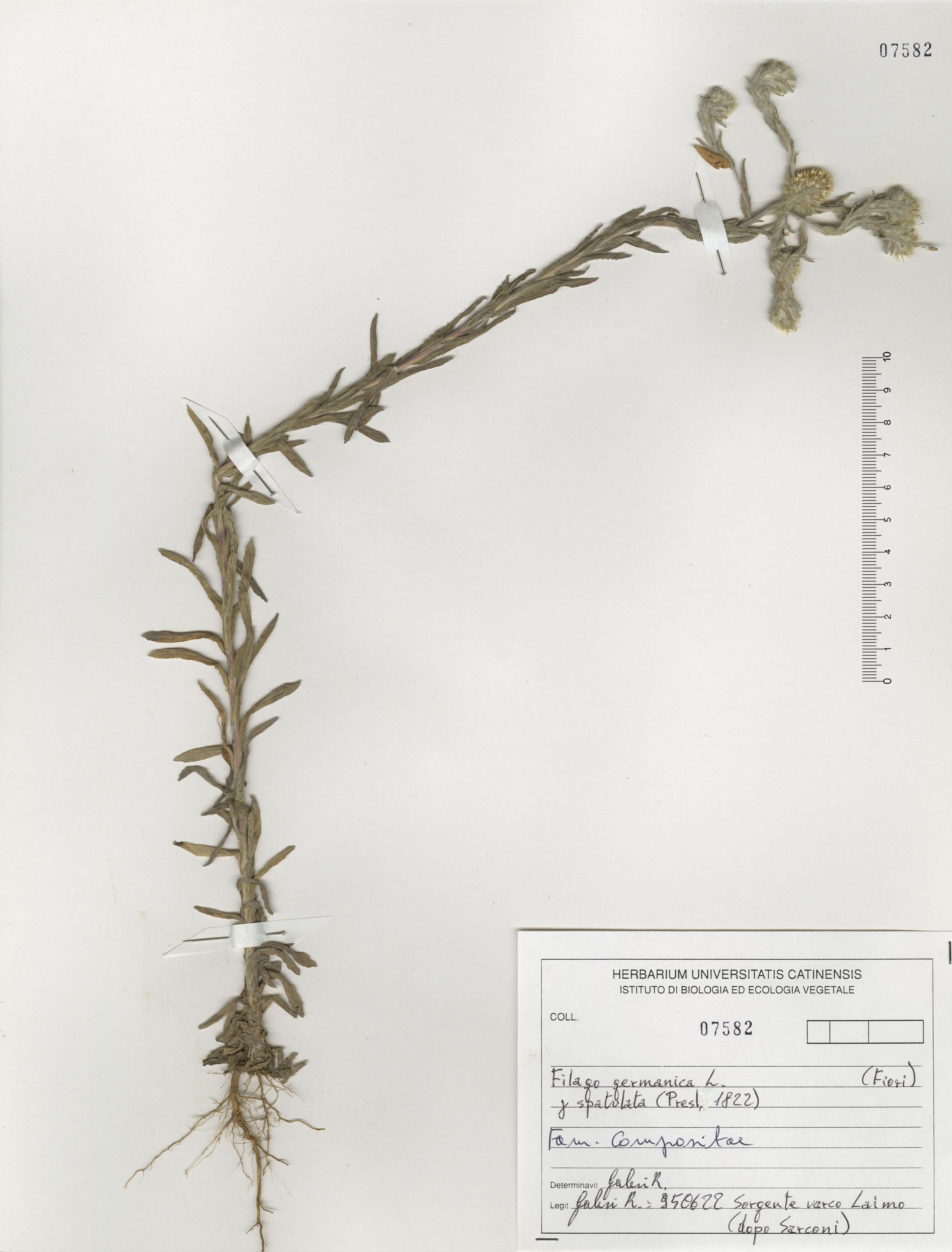 © Hortus Botanicus Catinensis - Herb. sheet 107582<br>