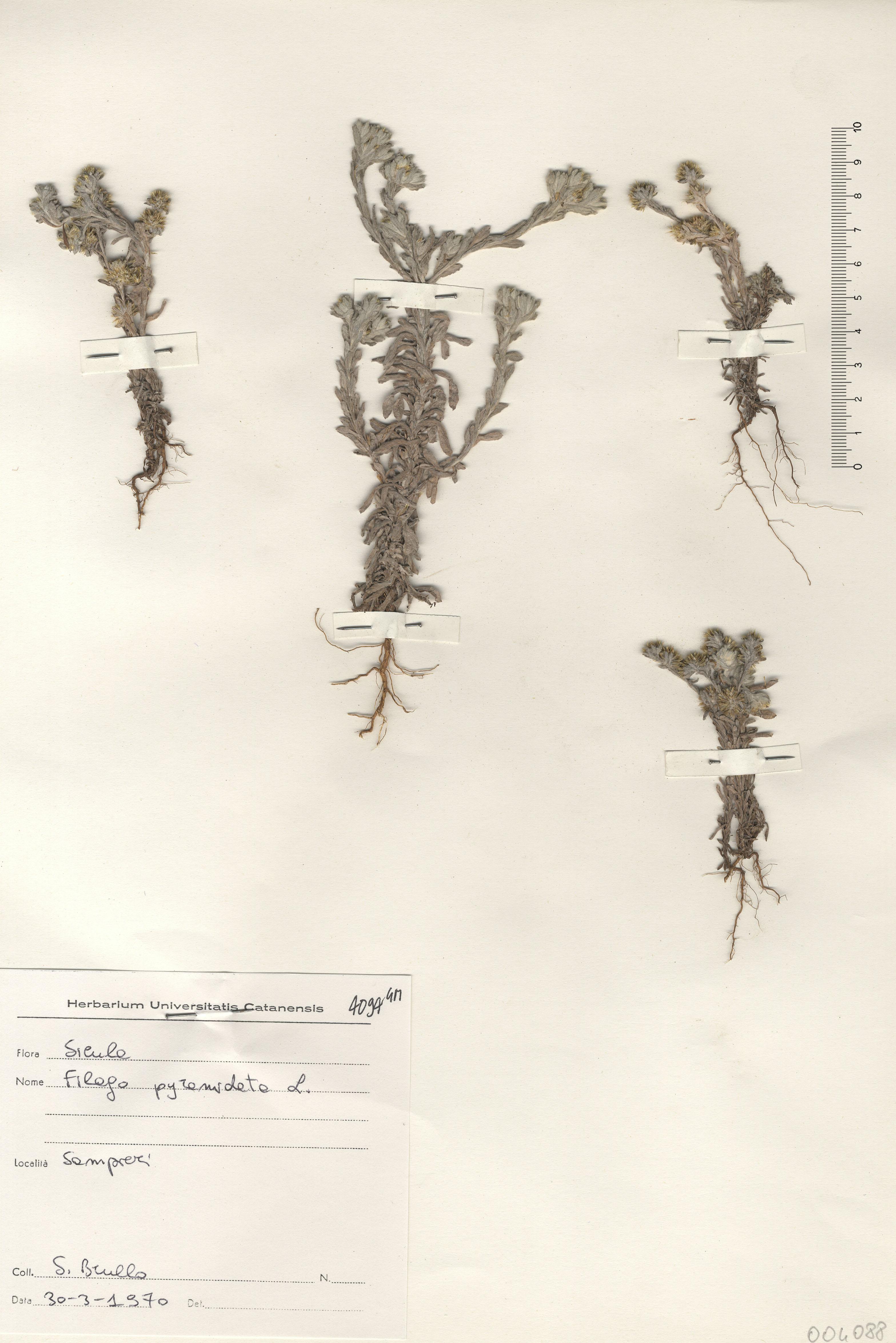 © Hortus Botanicus Catinensis - Herb. sheet 004088<br>