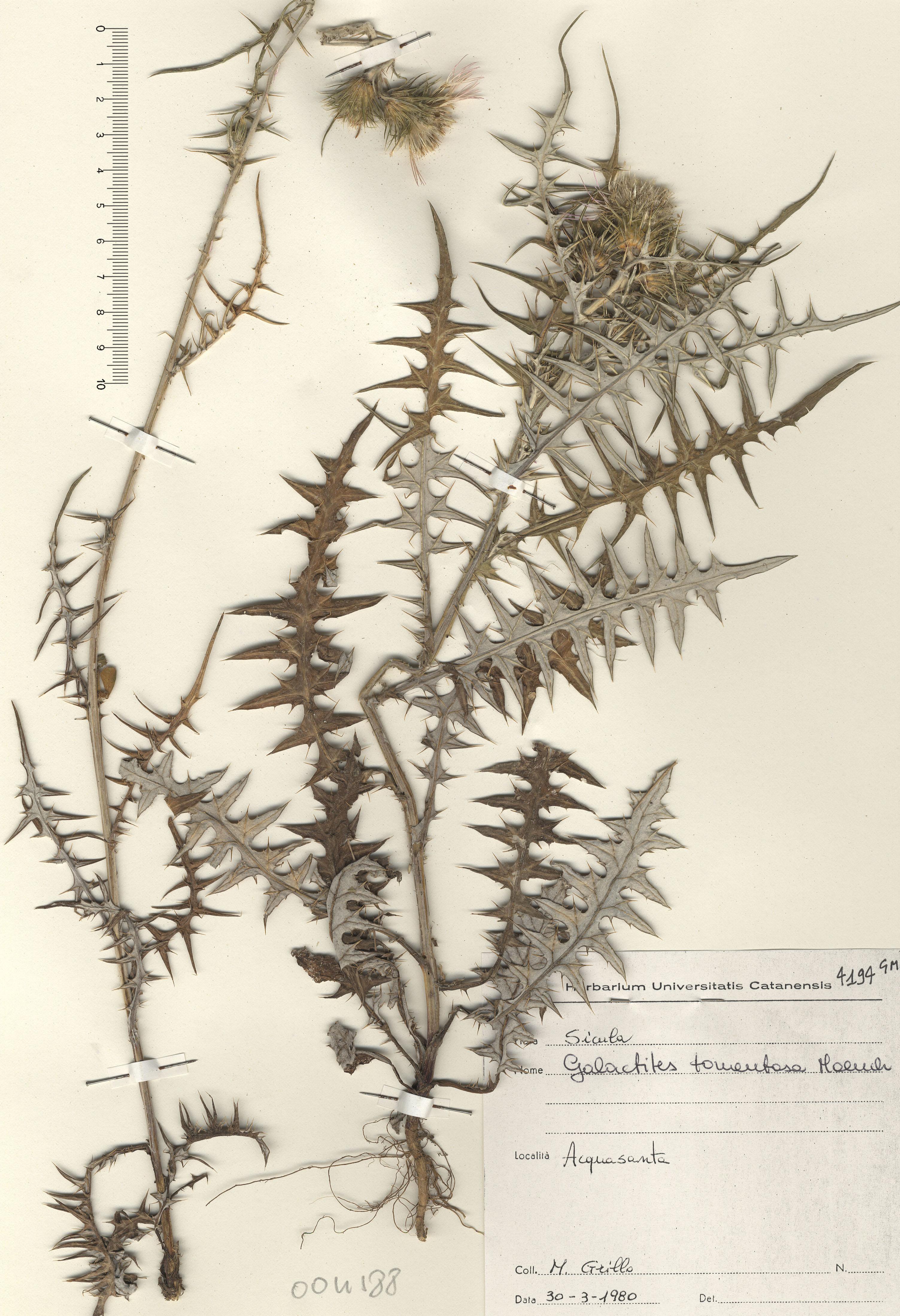 © Hortus Botanicus Catinensis - Herb. sheet 004188<br>