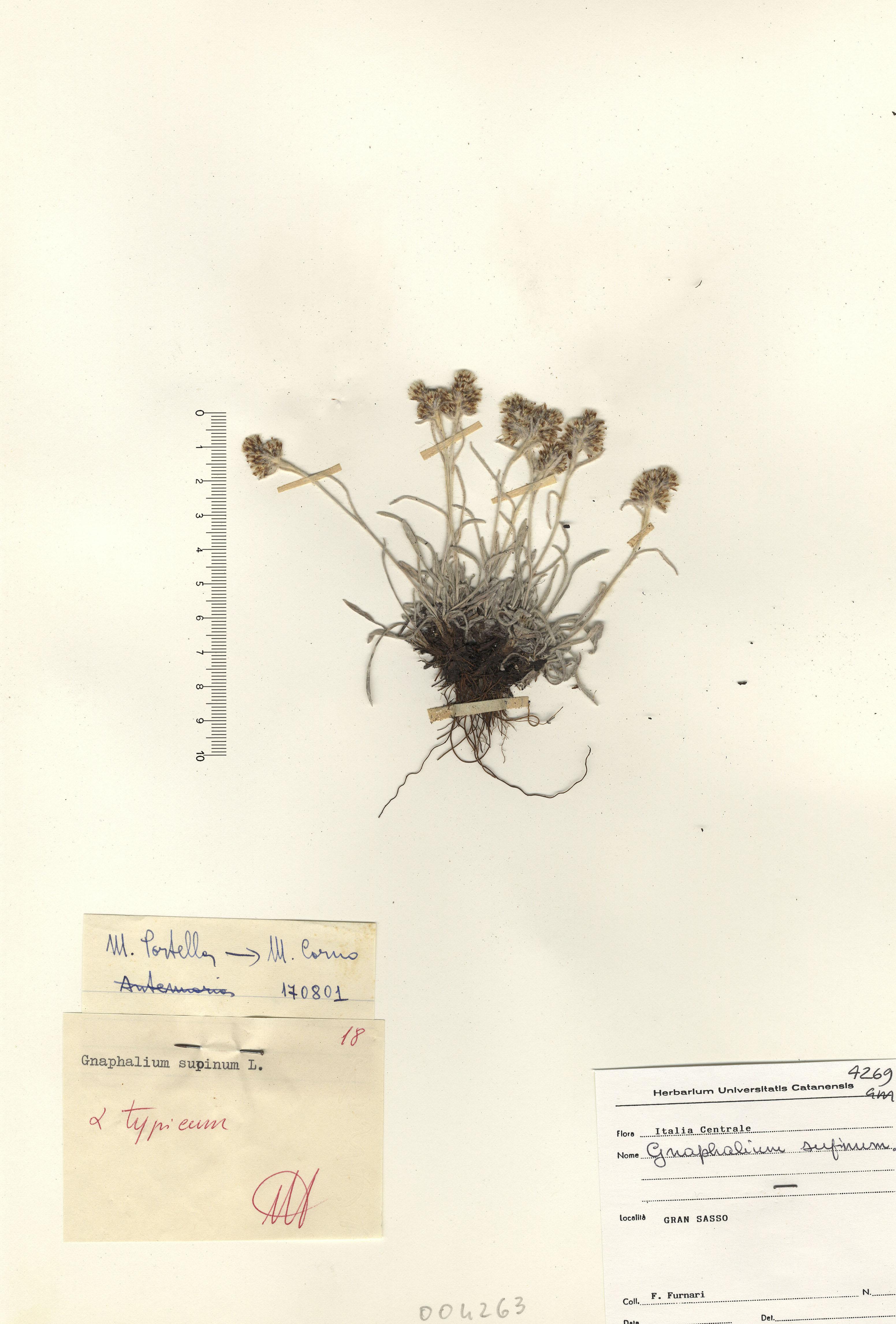 © Hortus Botanicus Catinensis - Herb. sheet 004263<br>
