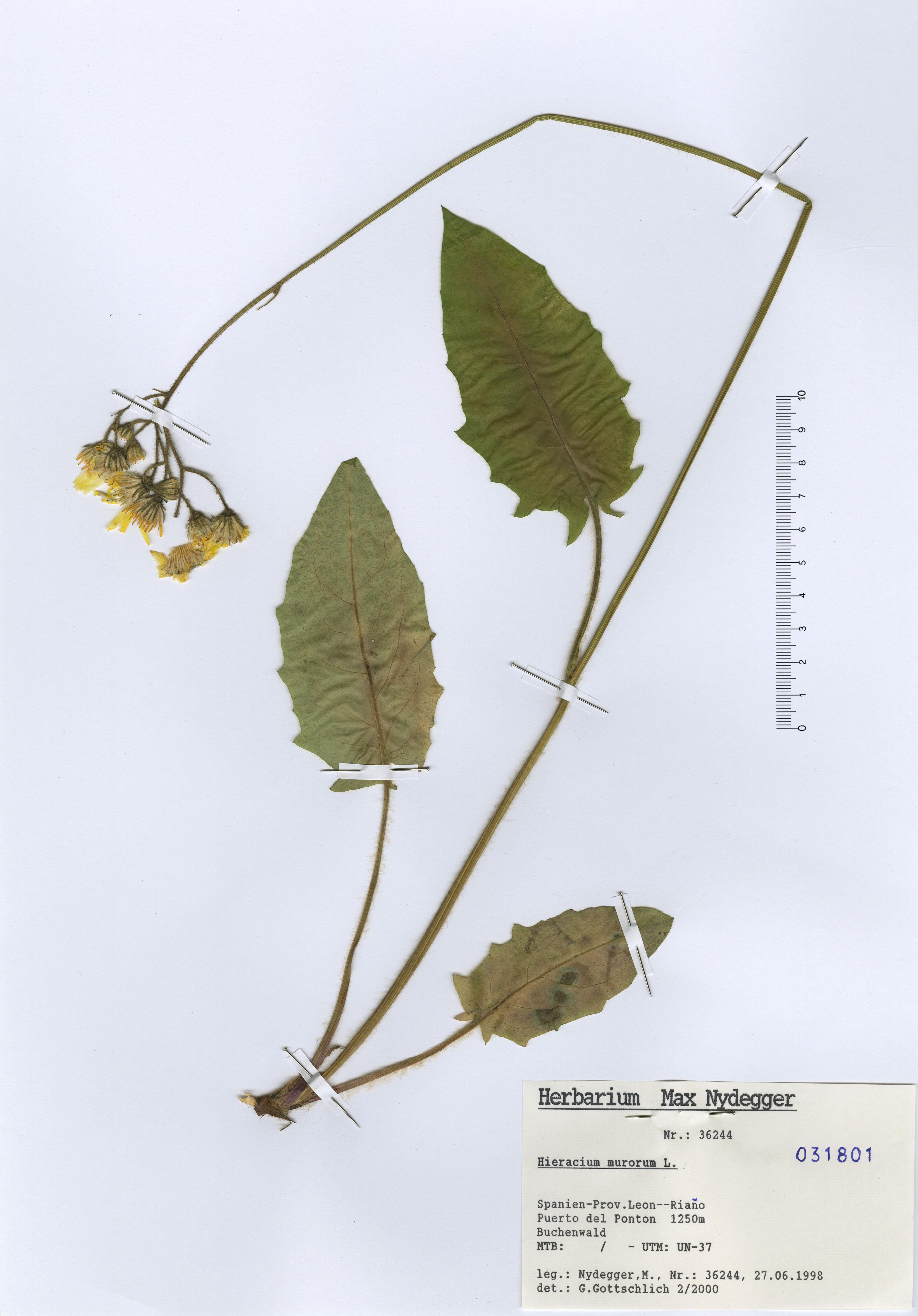 © Hortus Botanicus Catinensis - Herb. sheet 031801<br>