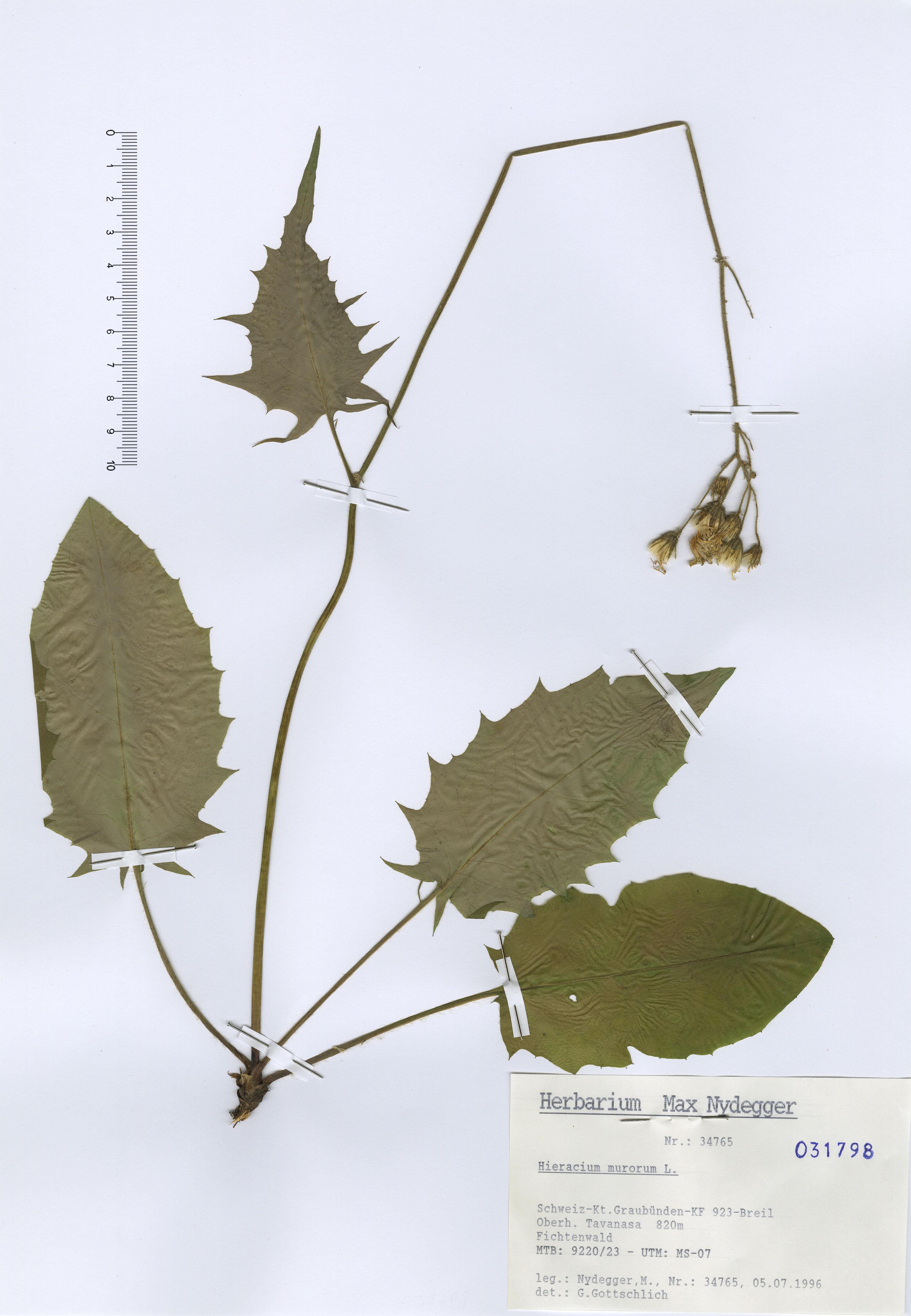 © Hortus Botanicus Catinensis - Herb. sheet 031798<br>