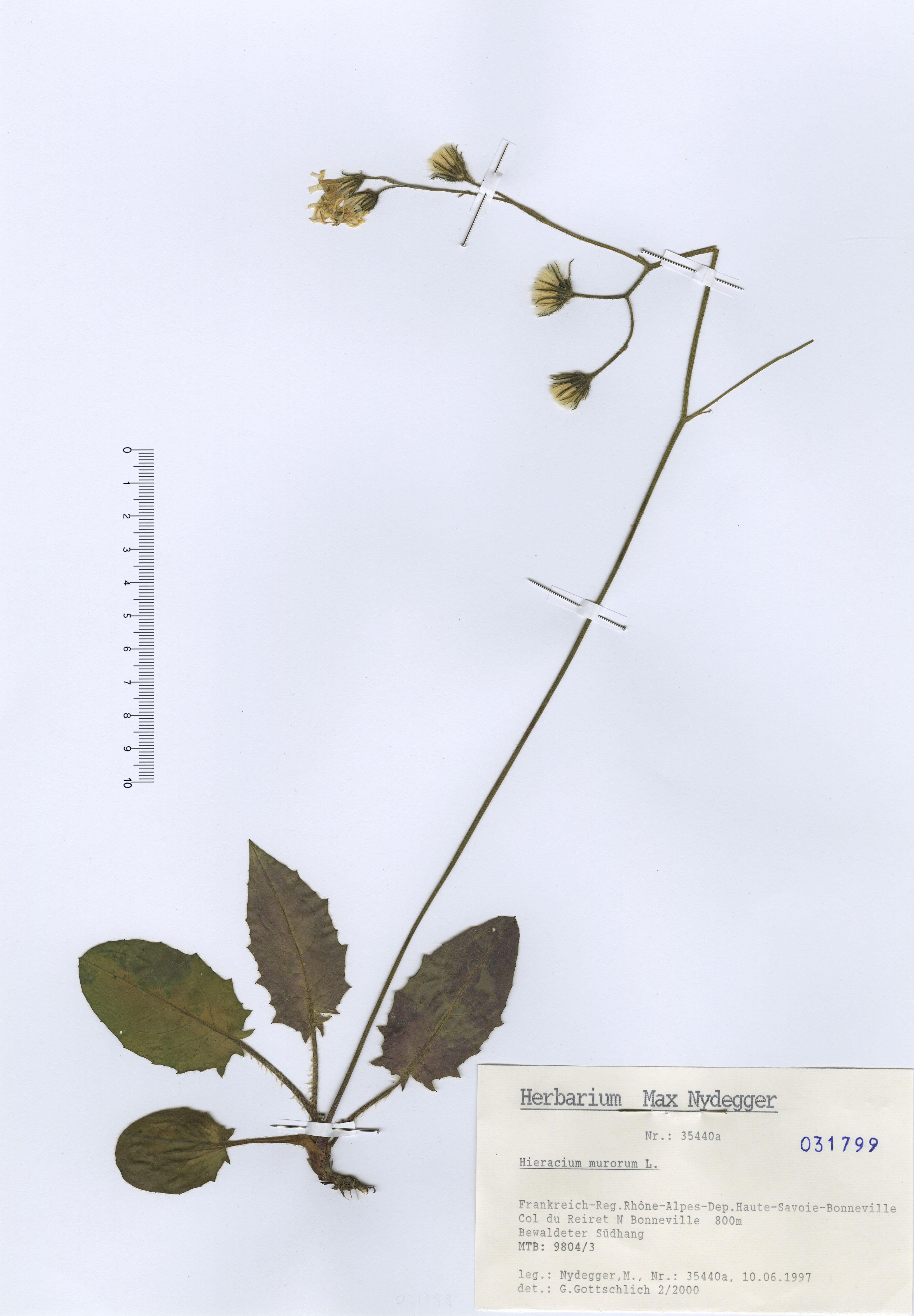 © Hortus Botanicus Catinensis - Herb. sheet 031799<br>