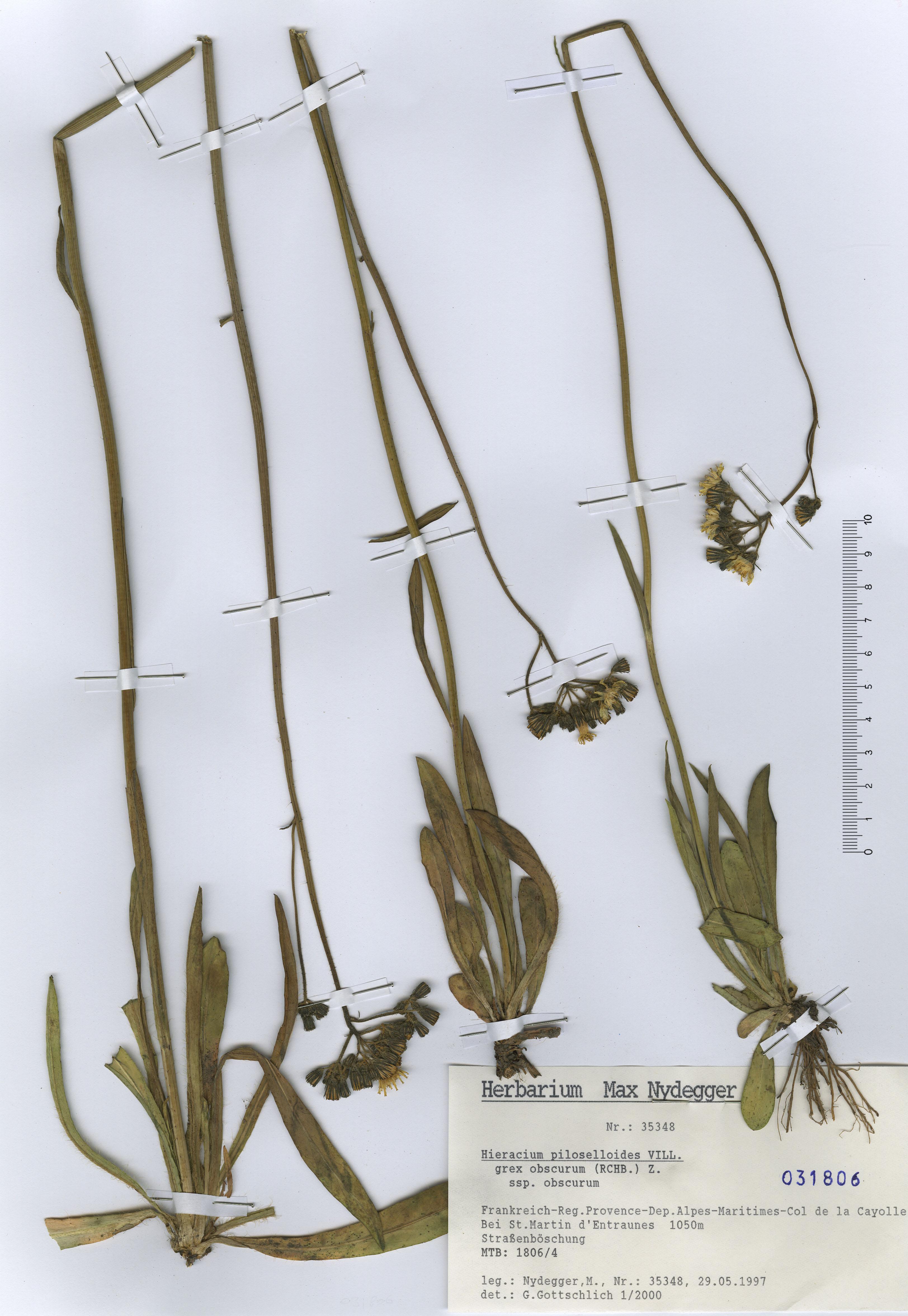 © Hortus Botanicus Catinensis - Herb. sheet 031806<br>