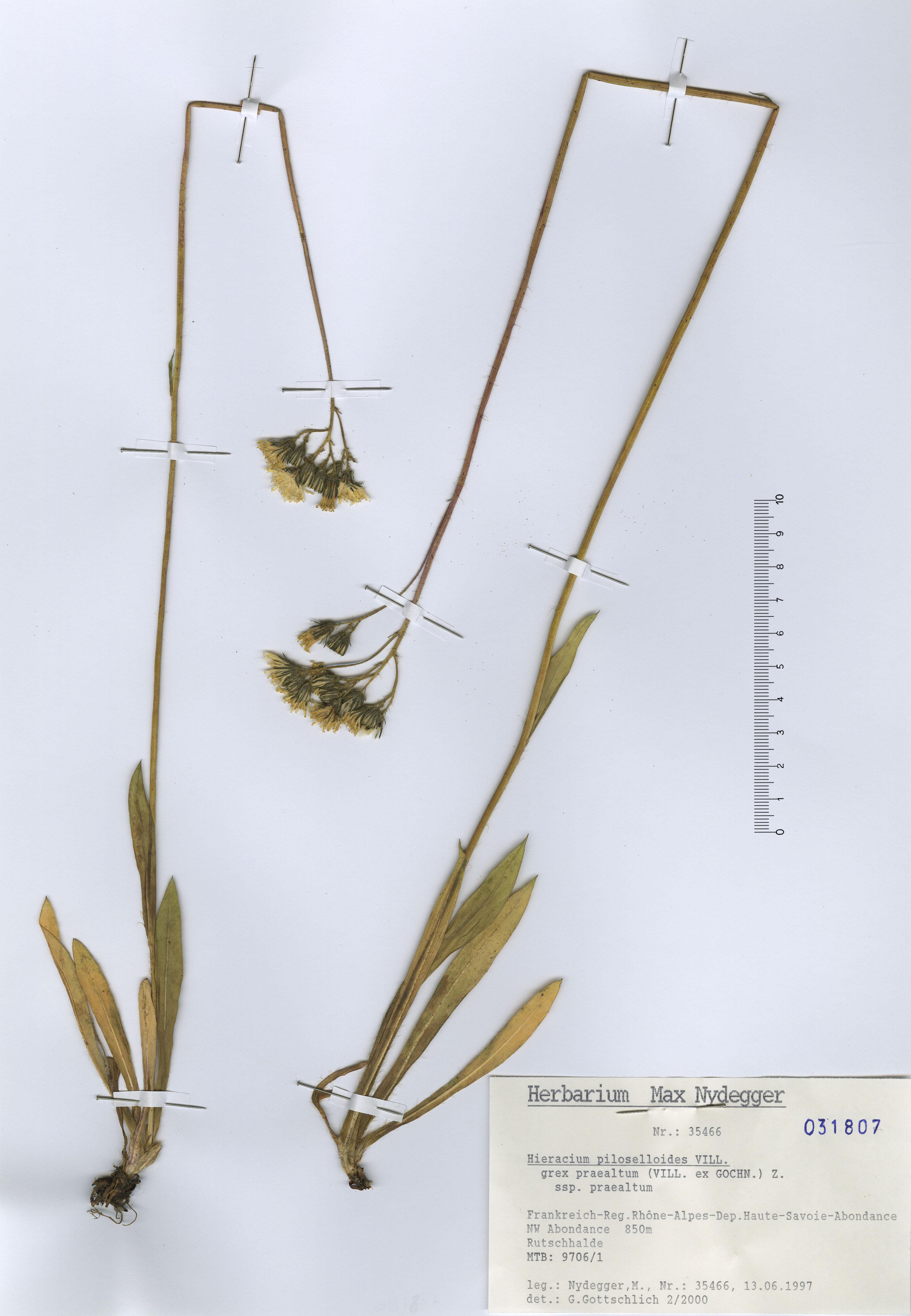 © Hortus Botanicus Catinensis - Herb. sheet 031807<br>