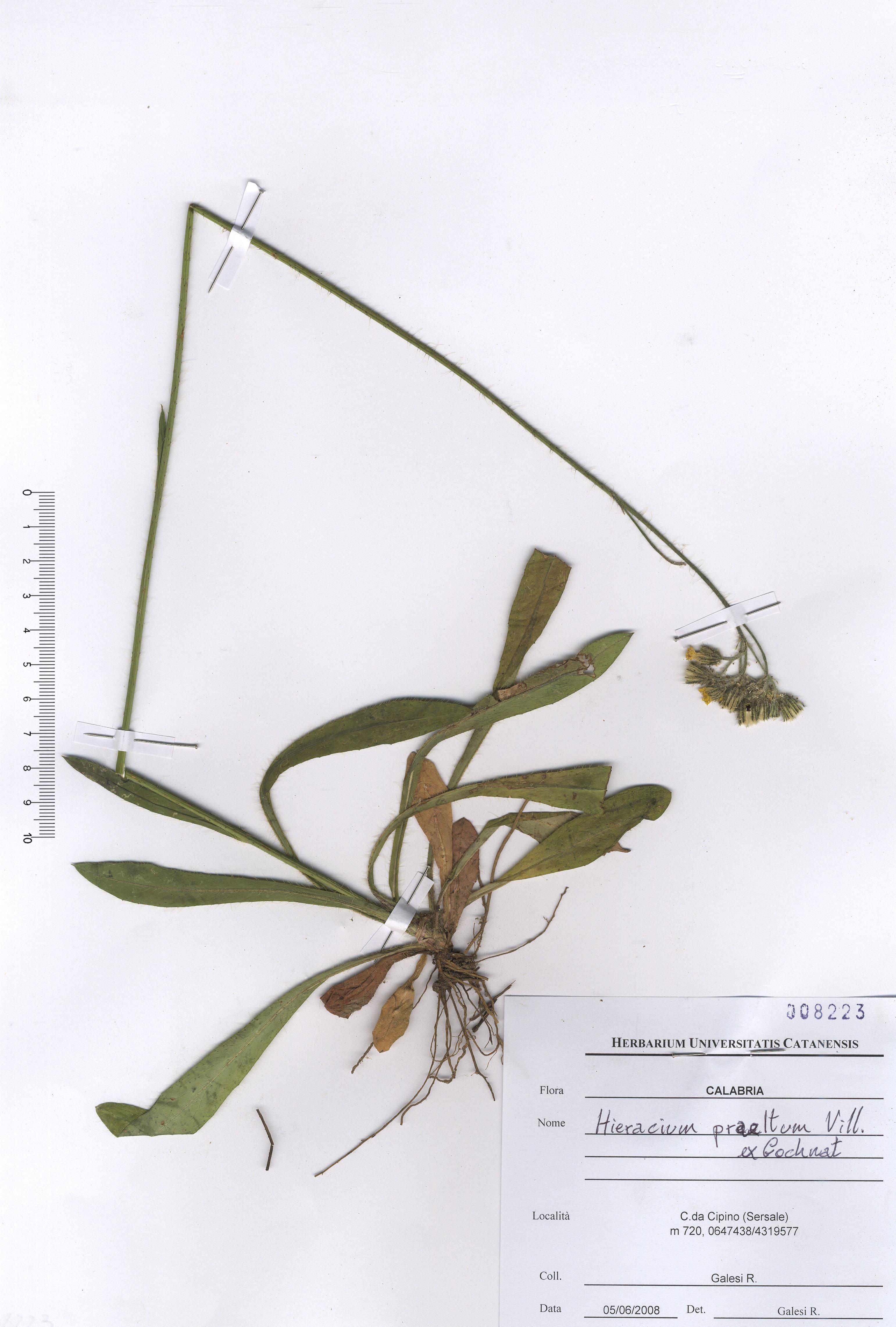 © Hortus Botanicus Catinensis - Herb. sheet 008223<br>