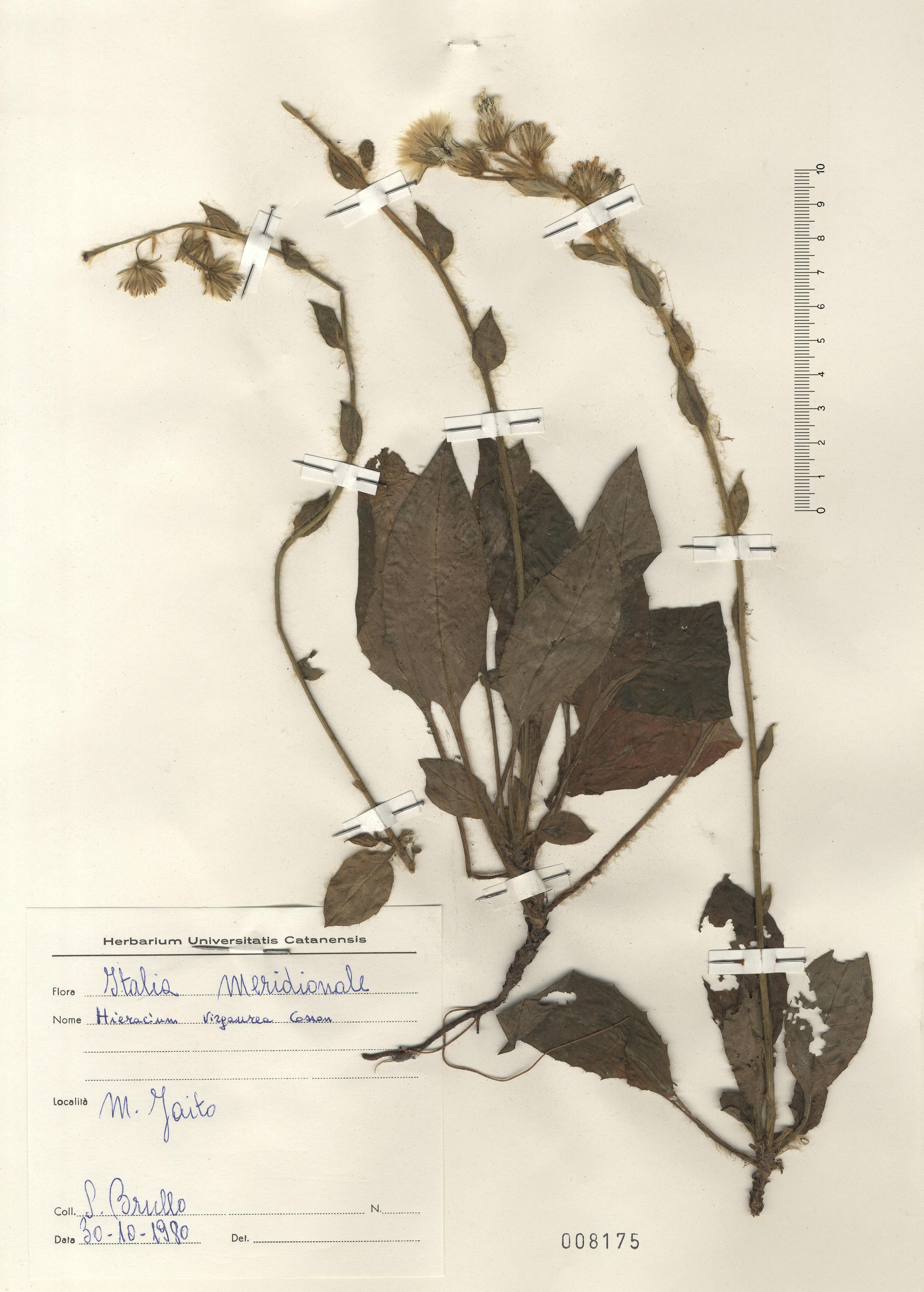 © Hortus Botanicus Catinensis - Herb. sheet 008175<br>