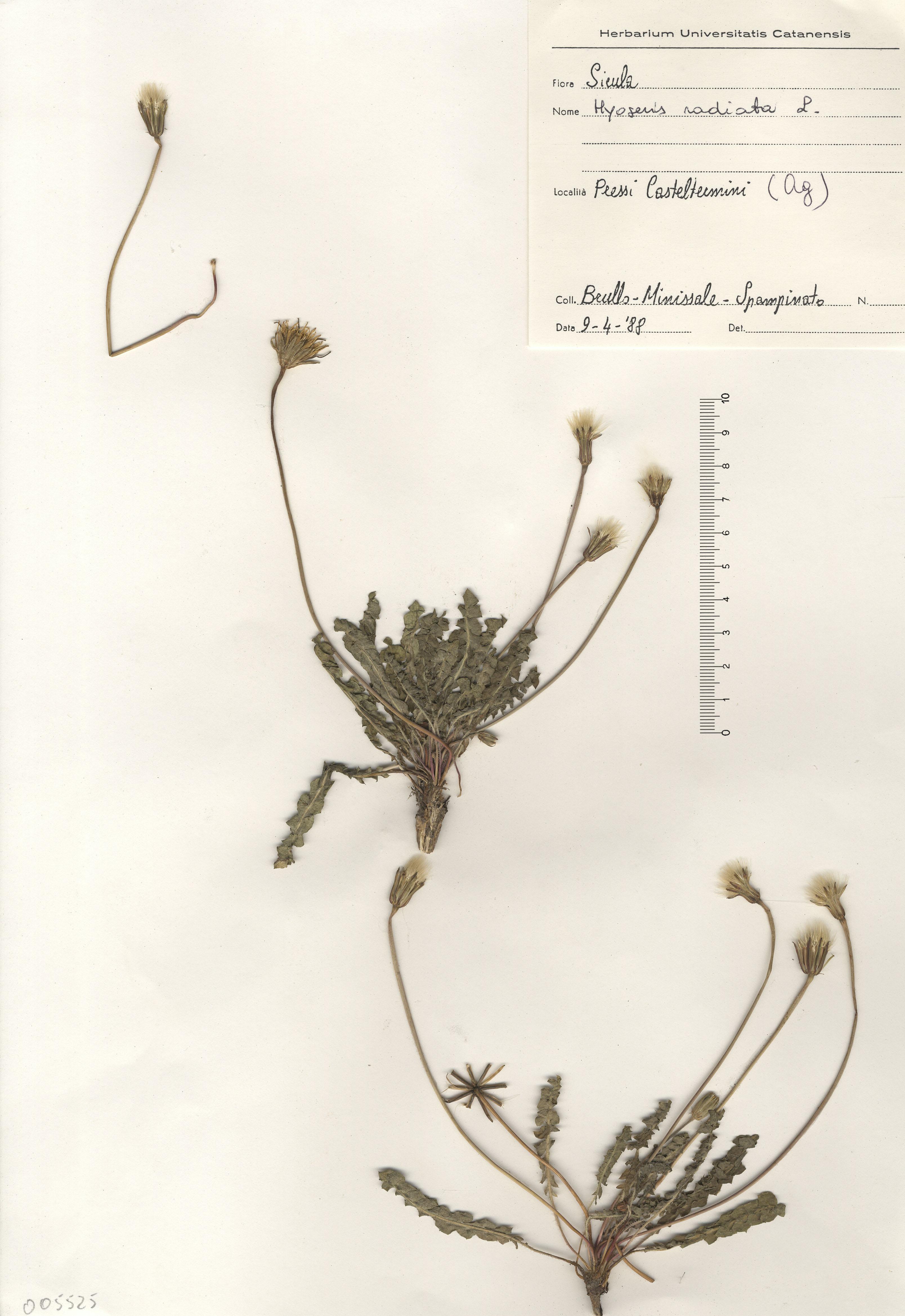 © Hortus Botanicus Catinensis - Herb. sheet 0005525<br>