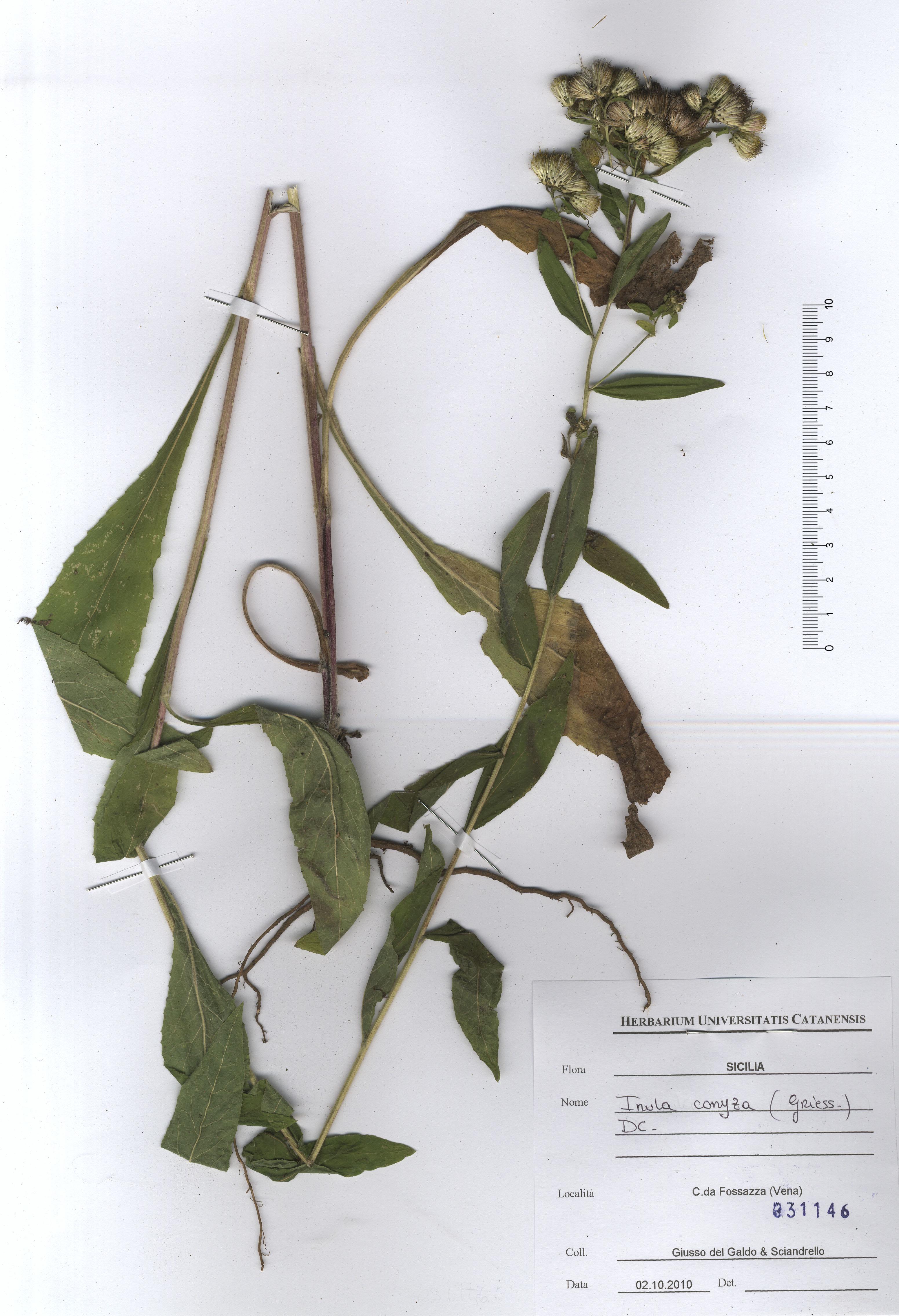 © Hortus Botanicus Catinensis - Herb. sheet 031146<br>