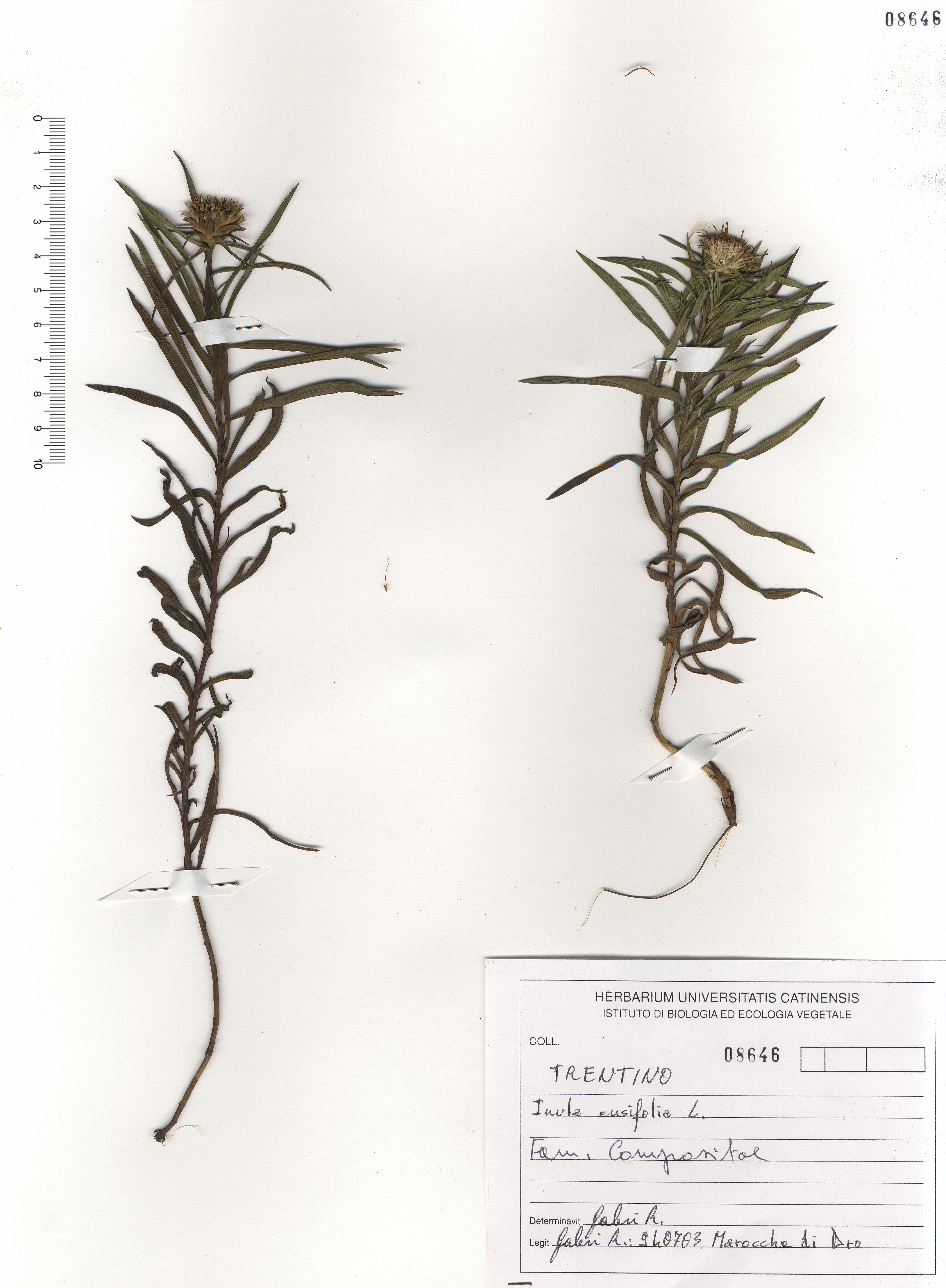 © Hortus Botanicus Catinensis - Herb. sheet 108646<br>