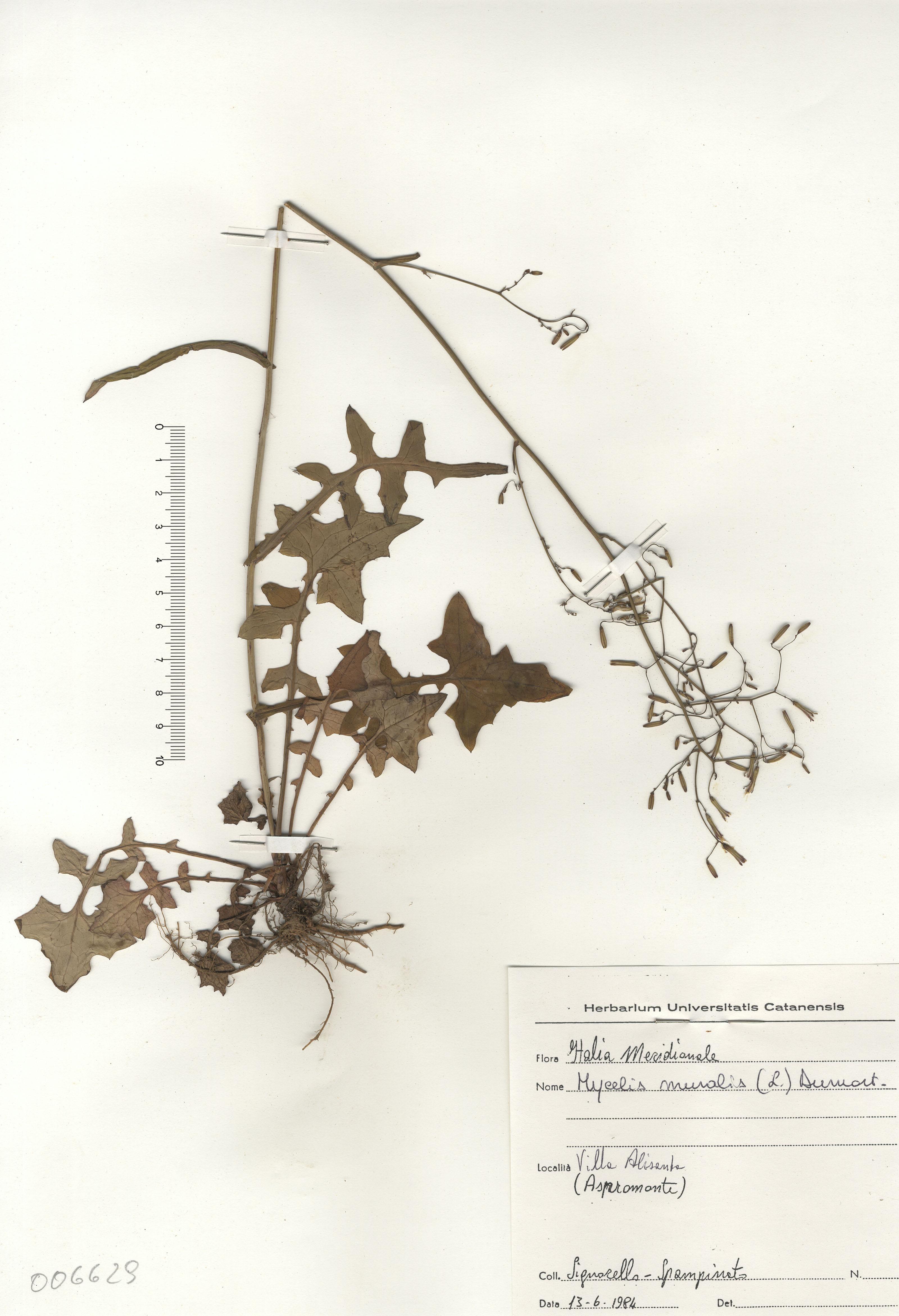 © Hortus Botanicus Catinensis - Herb. sheet 006629<br>