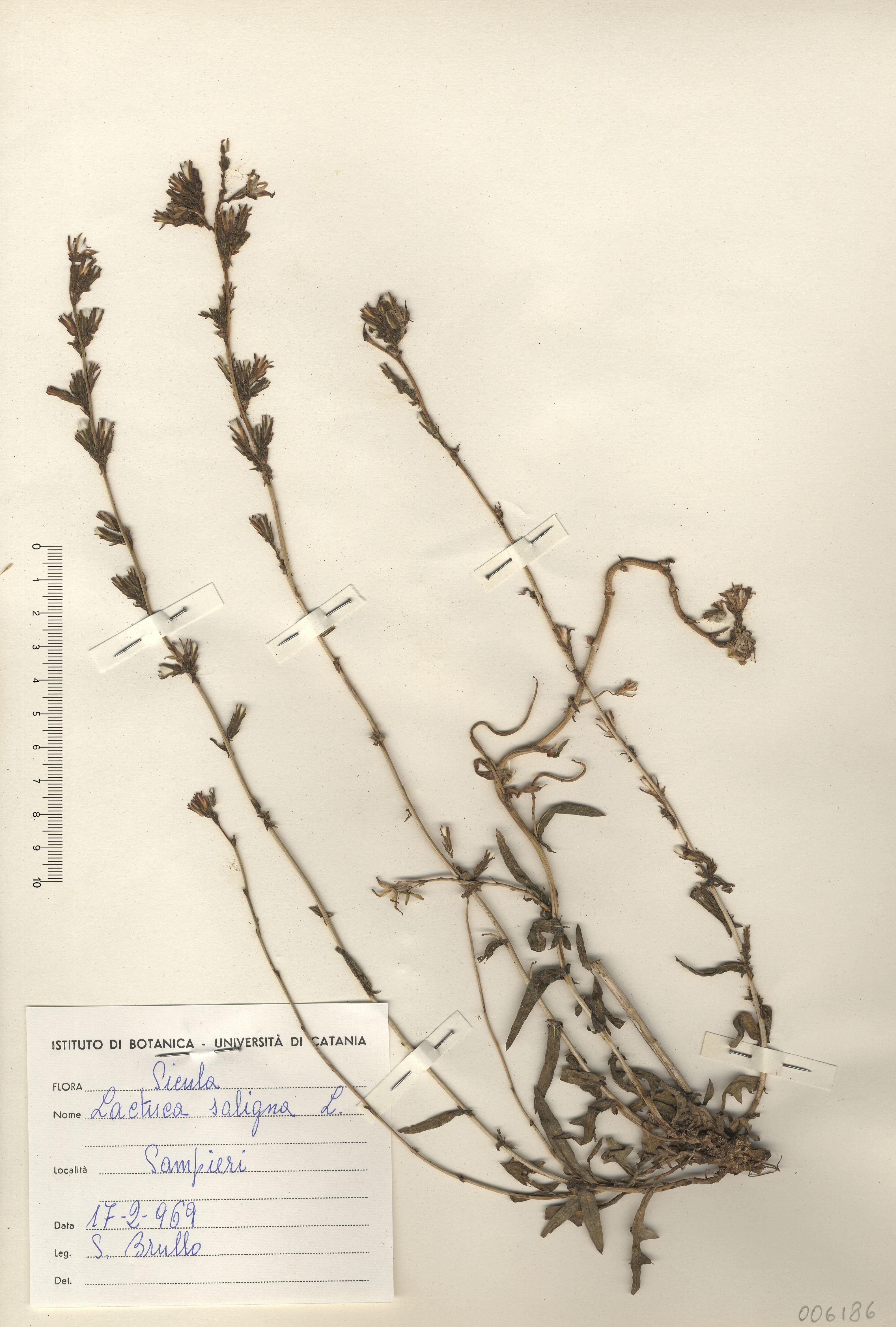 © Hortus Botanicus Catinensis - Herb. sheet 006186<br>