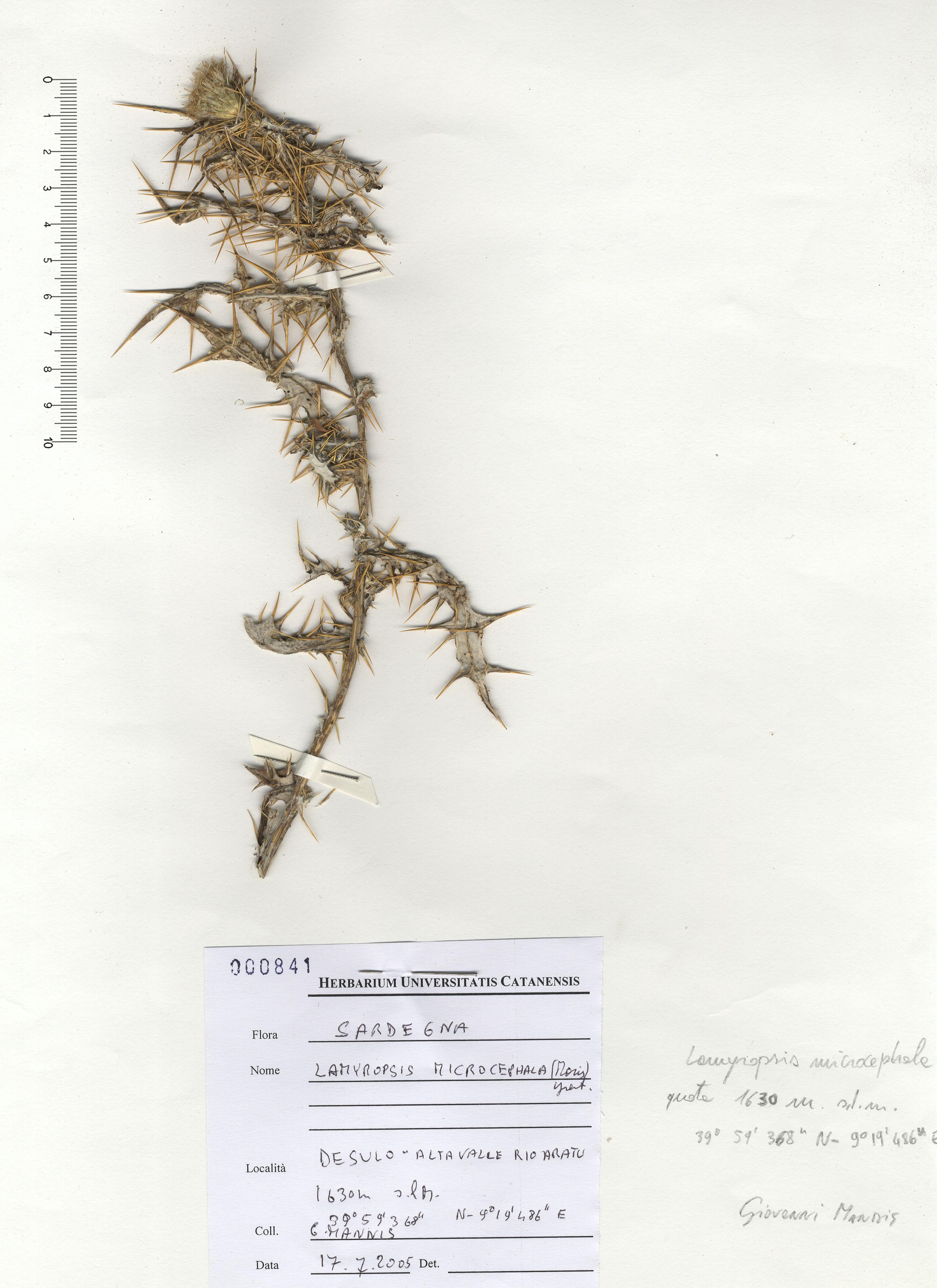 © Hortus Botanicus Catinensis - Herb. sheet 000841<br>