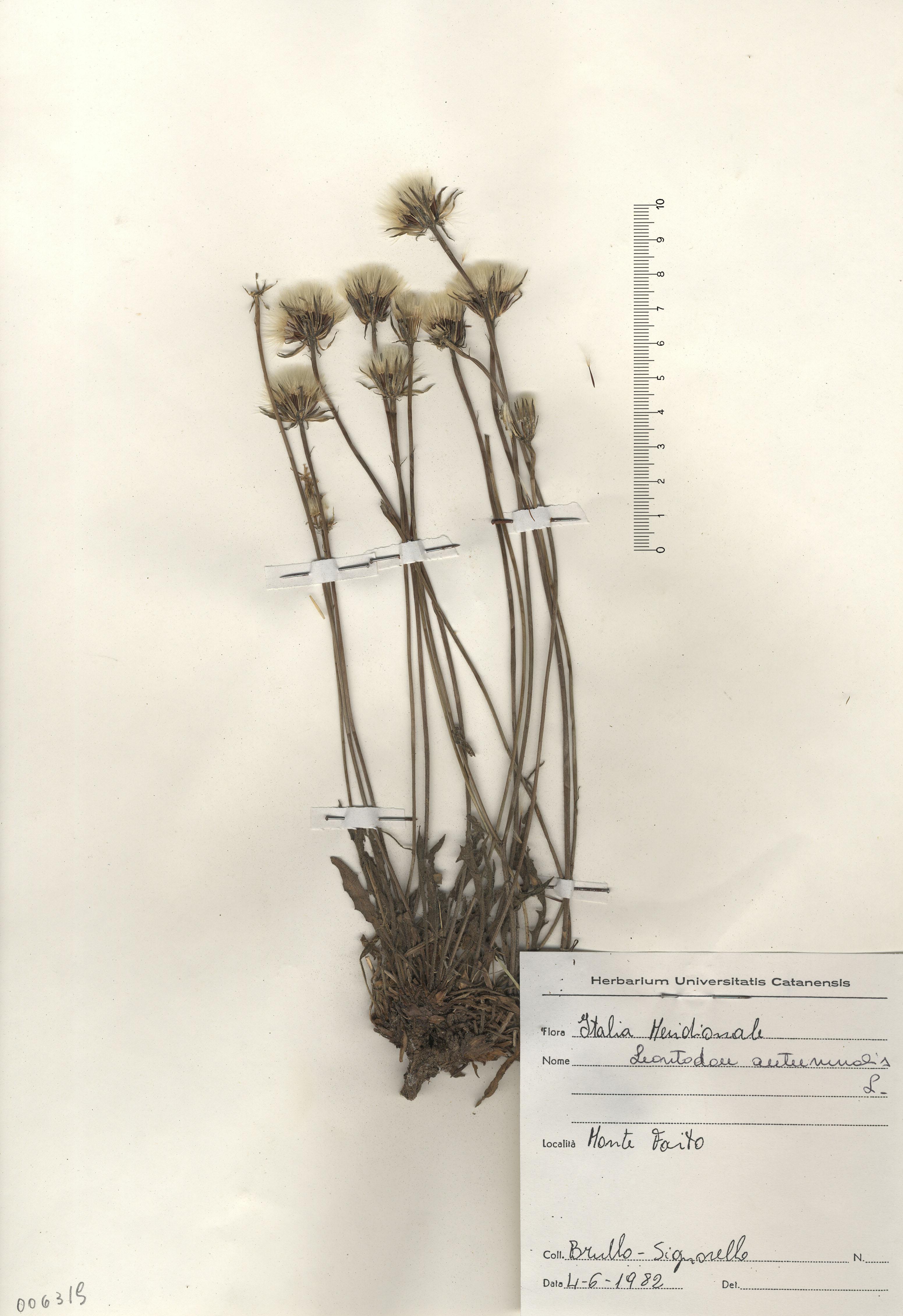 © Hortus Botanicus Catinensis - Herb. sheet 006319<br>