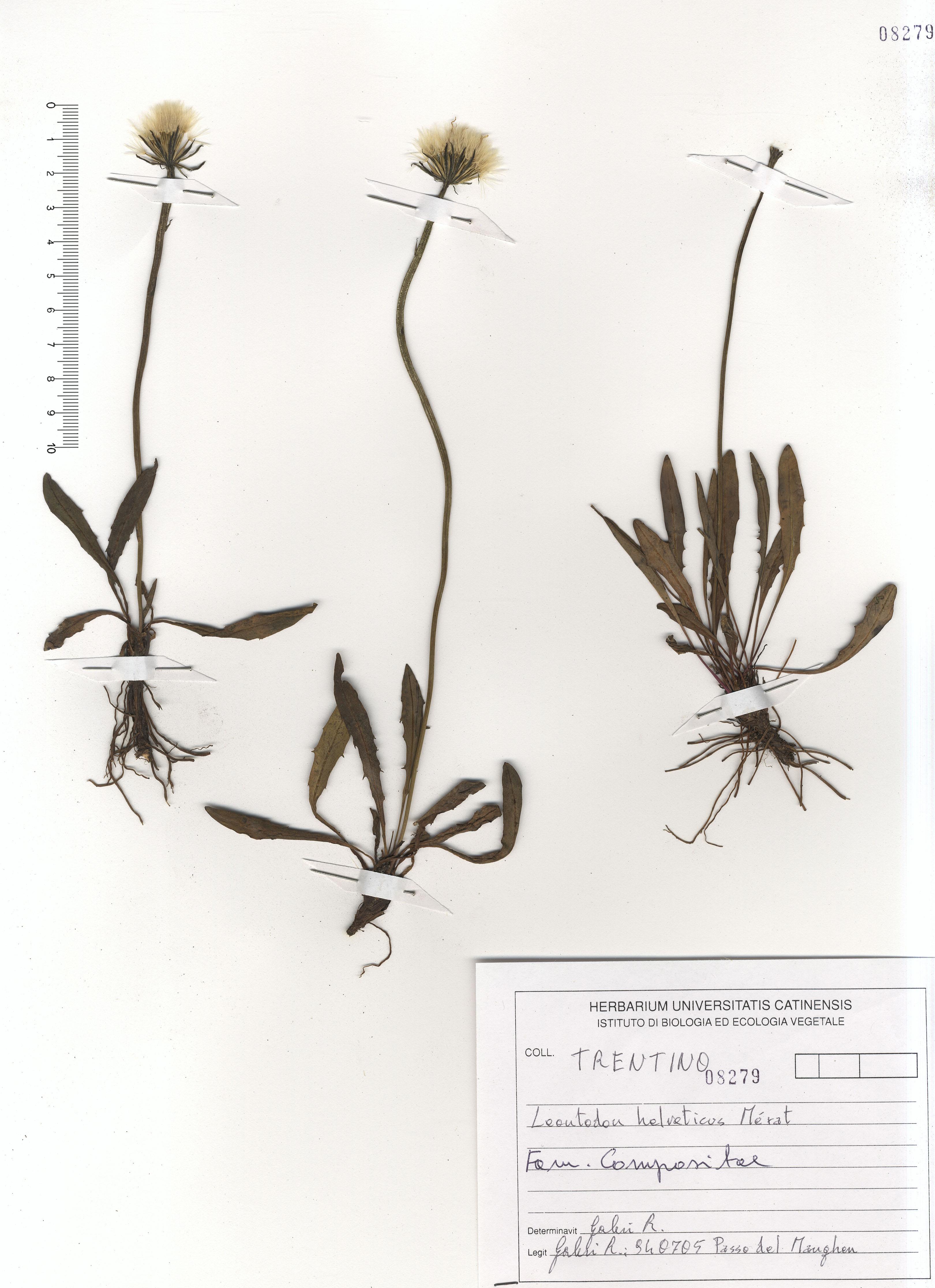 © Hortus Botanicus Catinensis - Herb. sheet 108279<br>