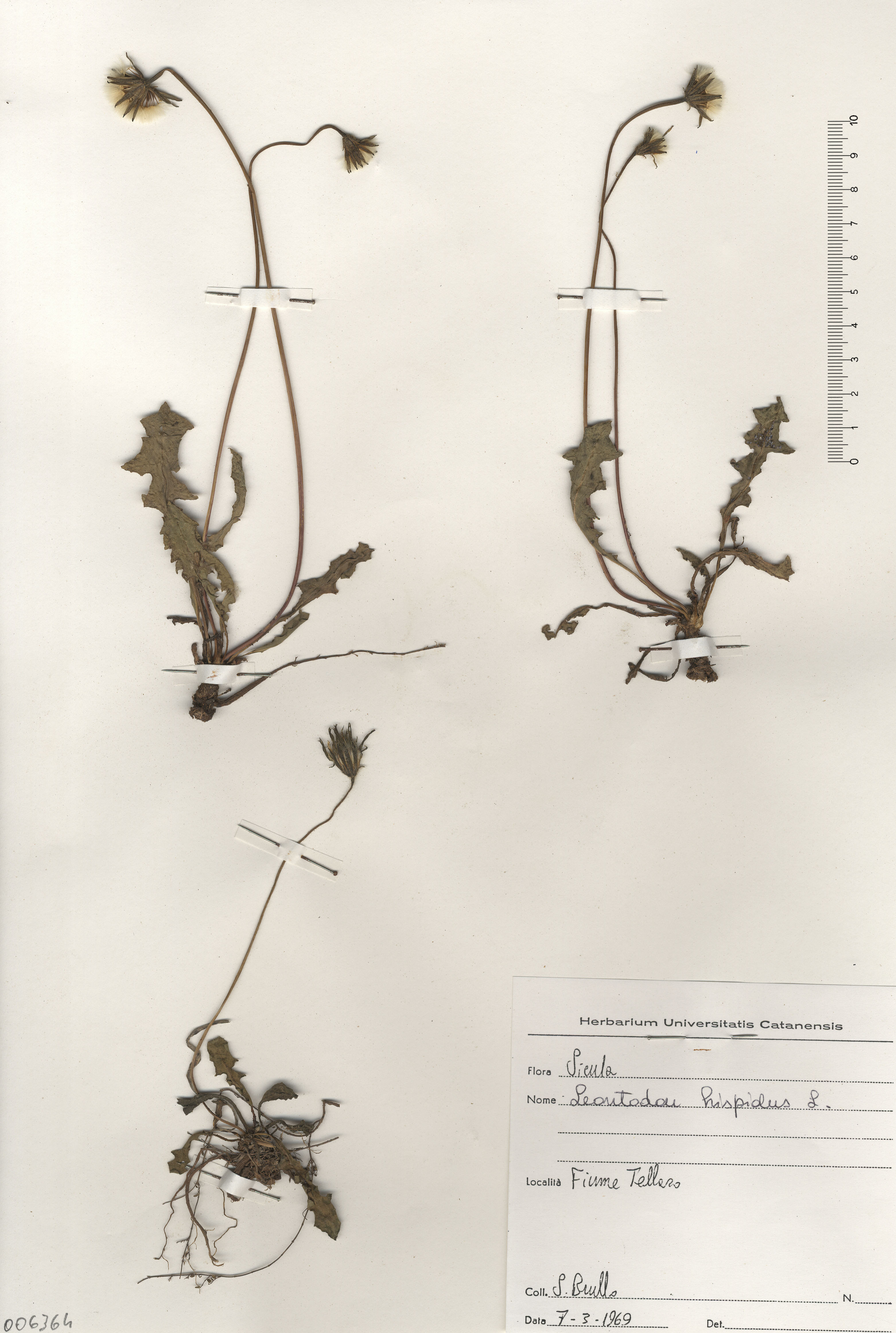 © Hortus Botanicus Catinensis - Herb. sheet 006364<br>