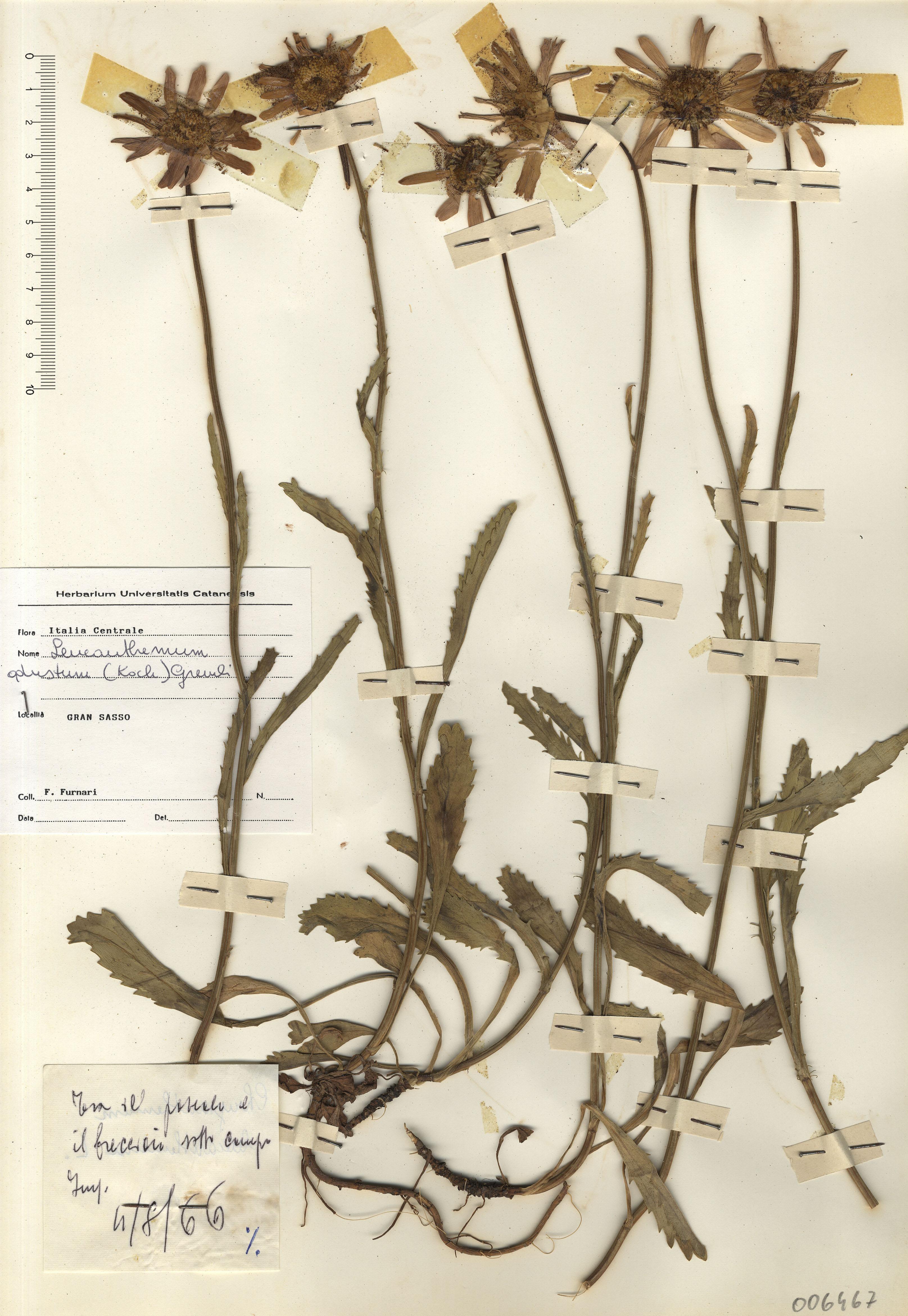 © Hortus Botanicus Catinensis - Herb. sheet 006467<br>