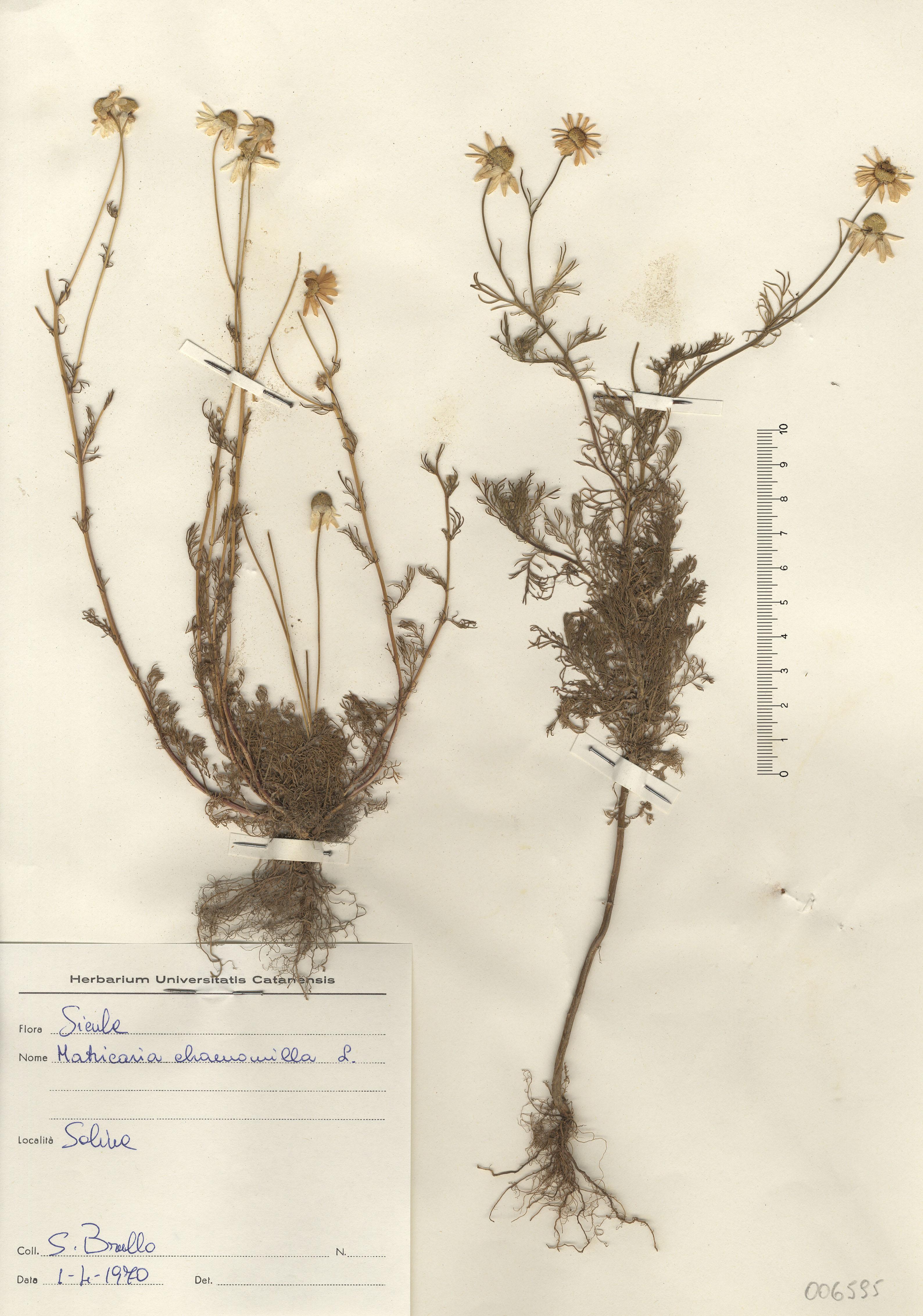 © Hortus Botanicus Catinensis - Herb. sheet 006595<br>