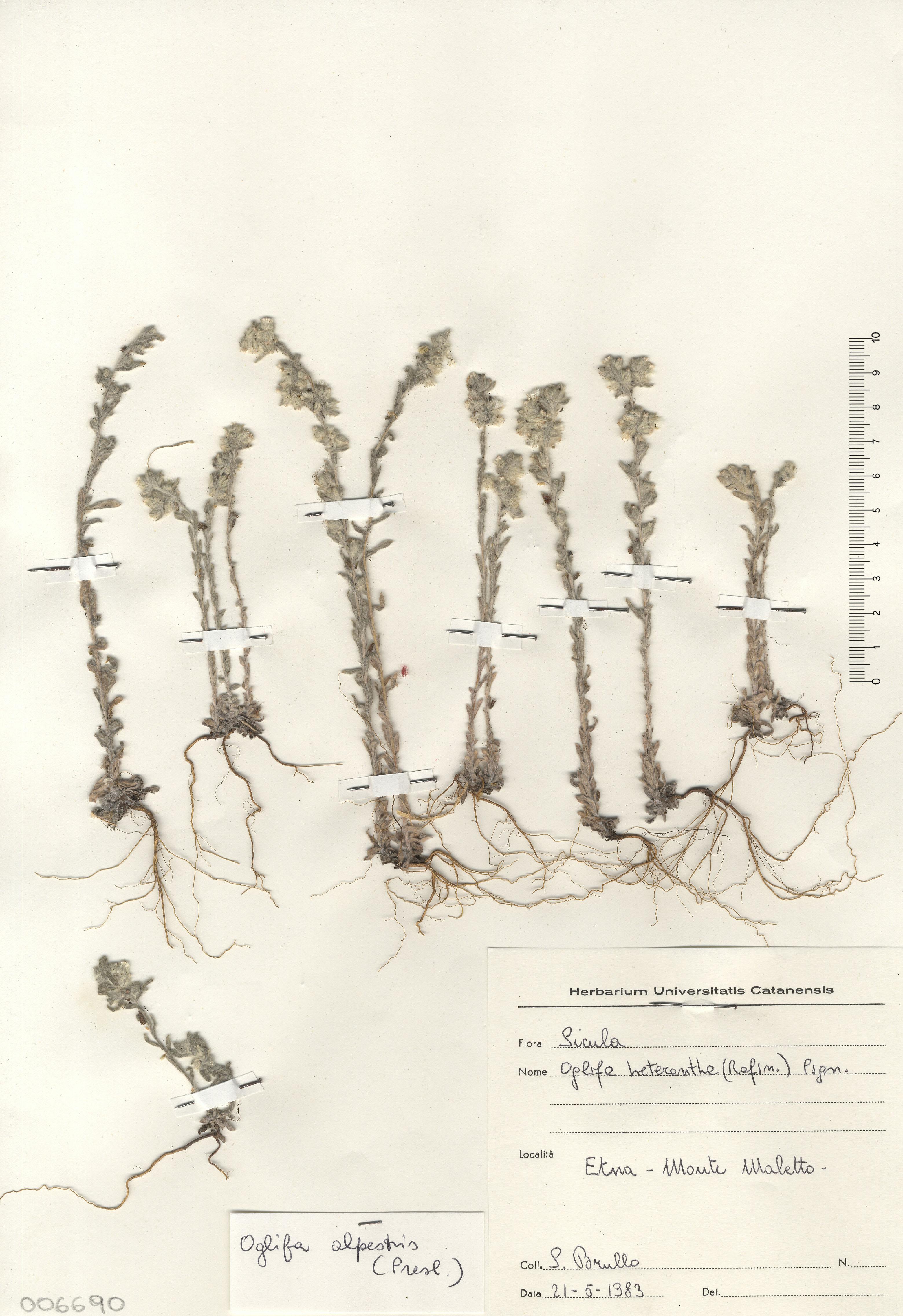 © Hortus Botanicus Catinensis - Herb. sheet 006690<br>