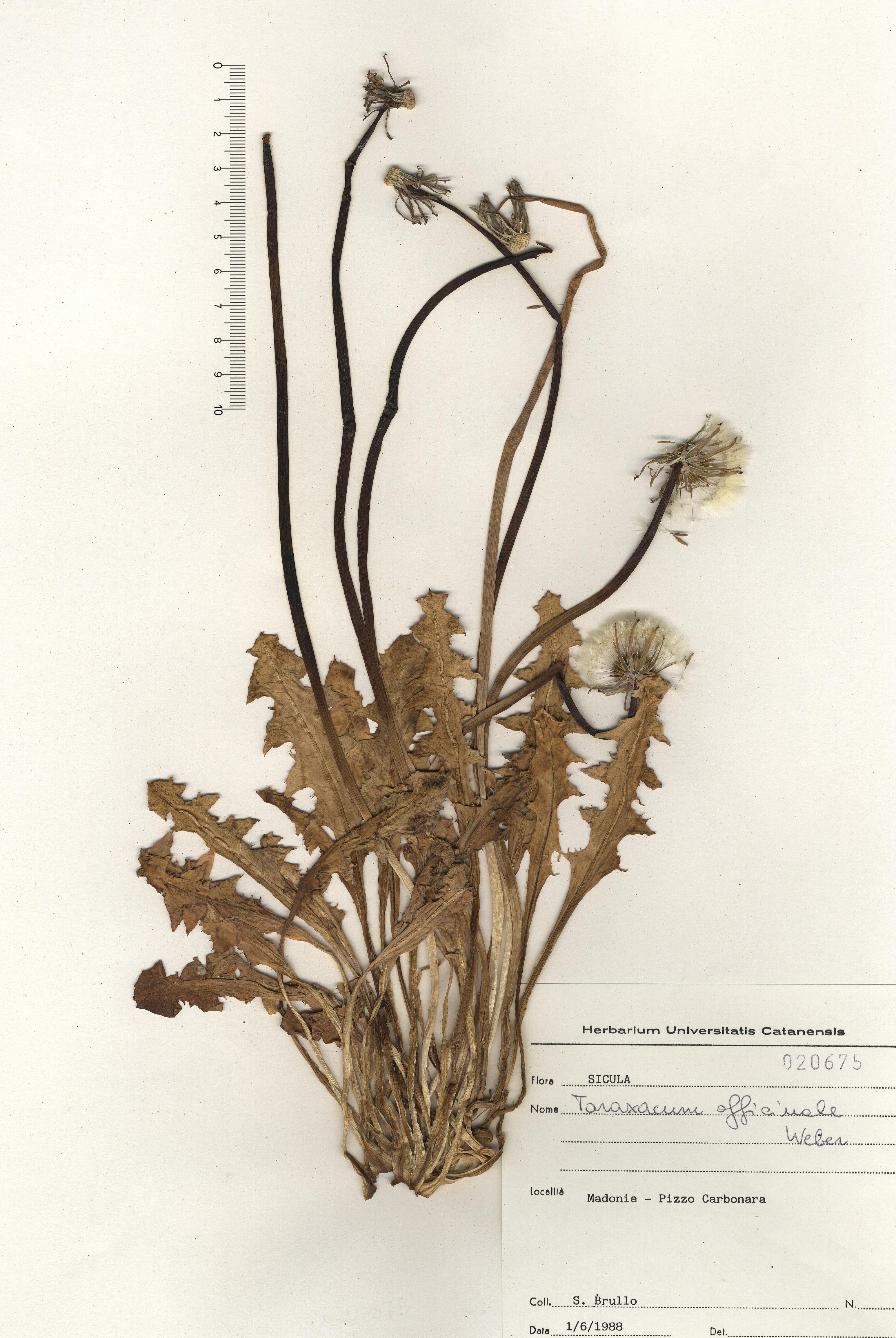 © Hortus Botanicus Catinensis - Herb. sheet 020675<br>