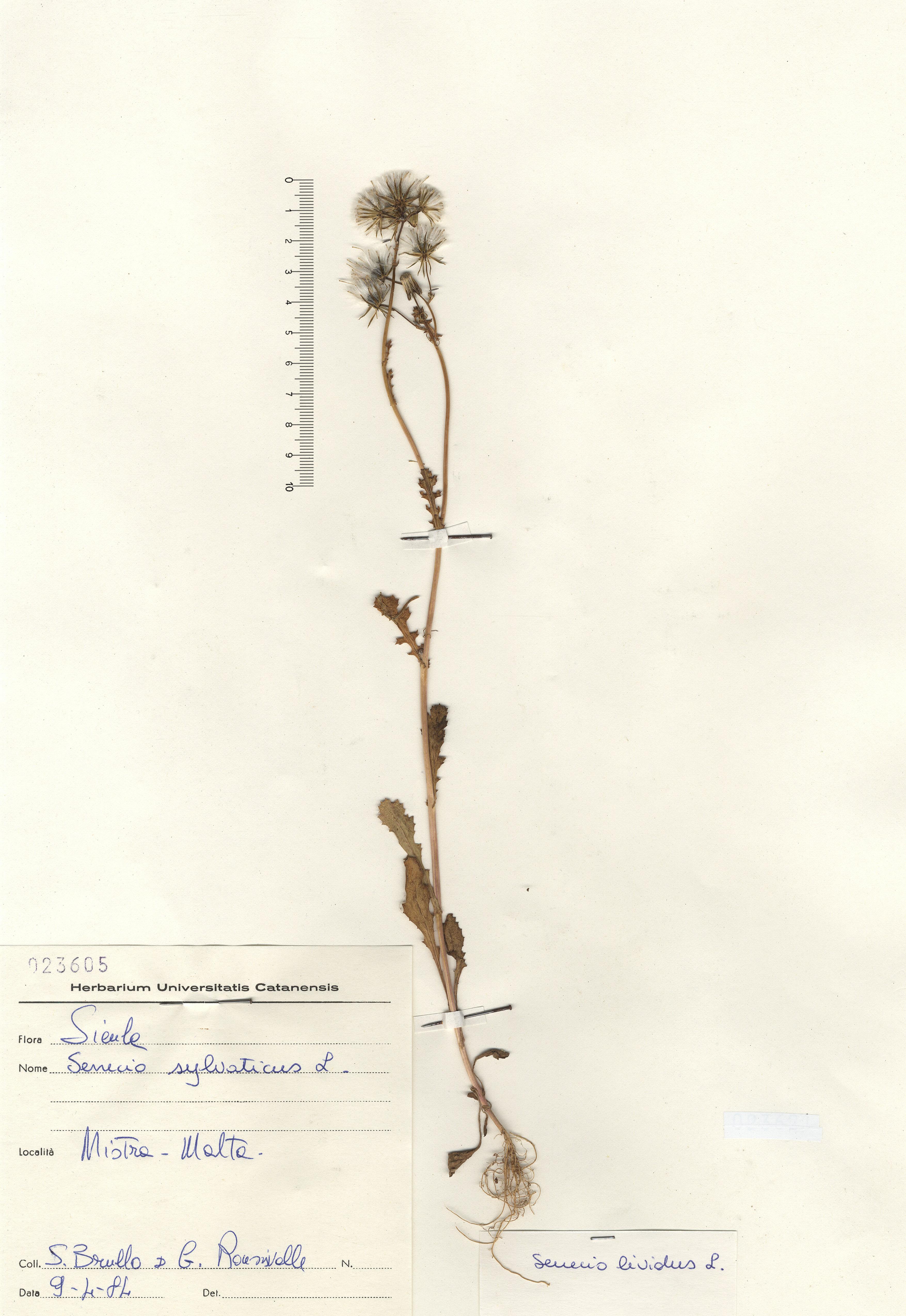 © Hortus Botanicus Catinensis - Herb. sheet 023605<br>
