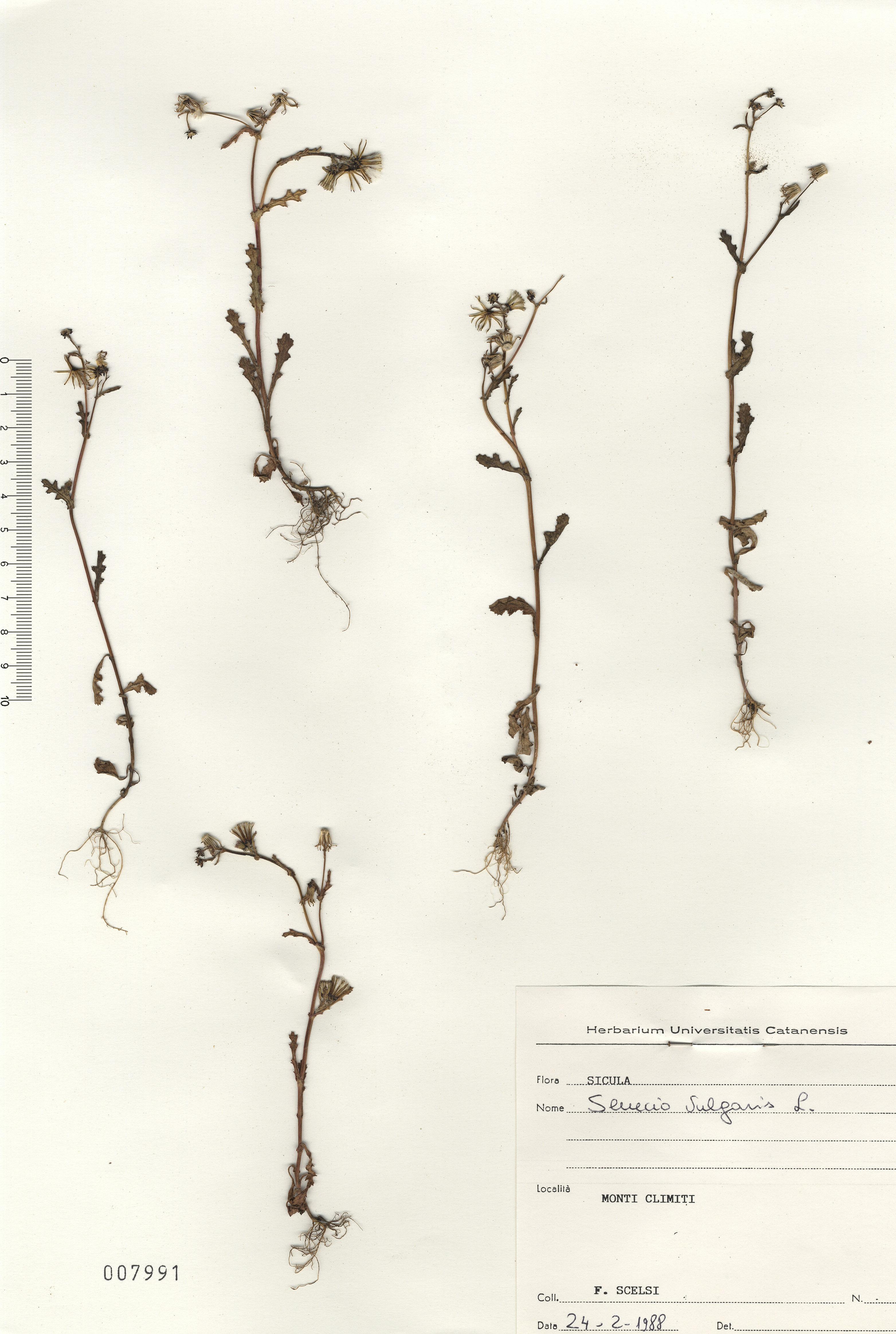 © Hortus Botanicus Catinensis - Herb. sheet 007991<br>