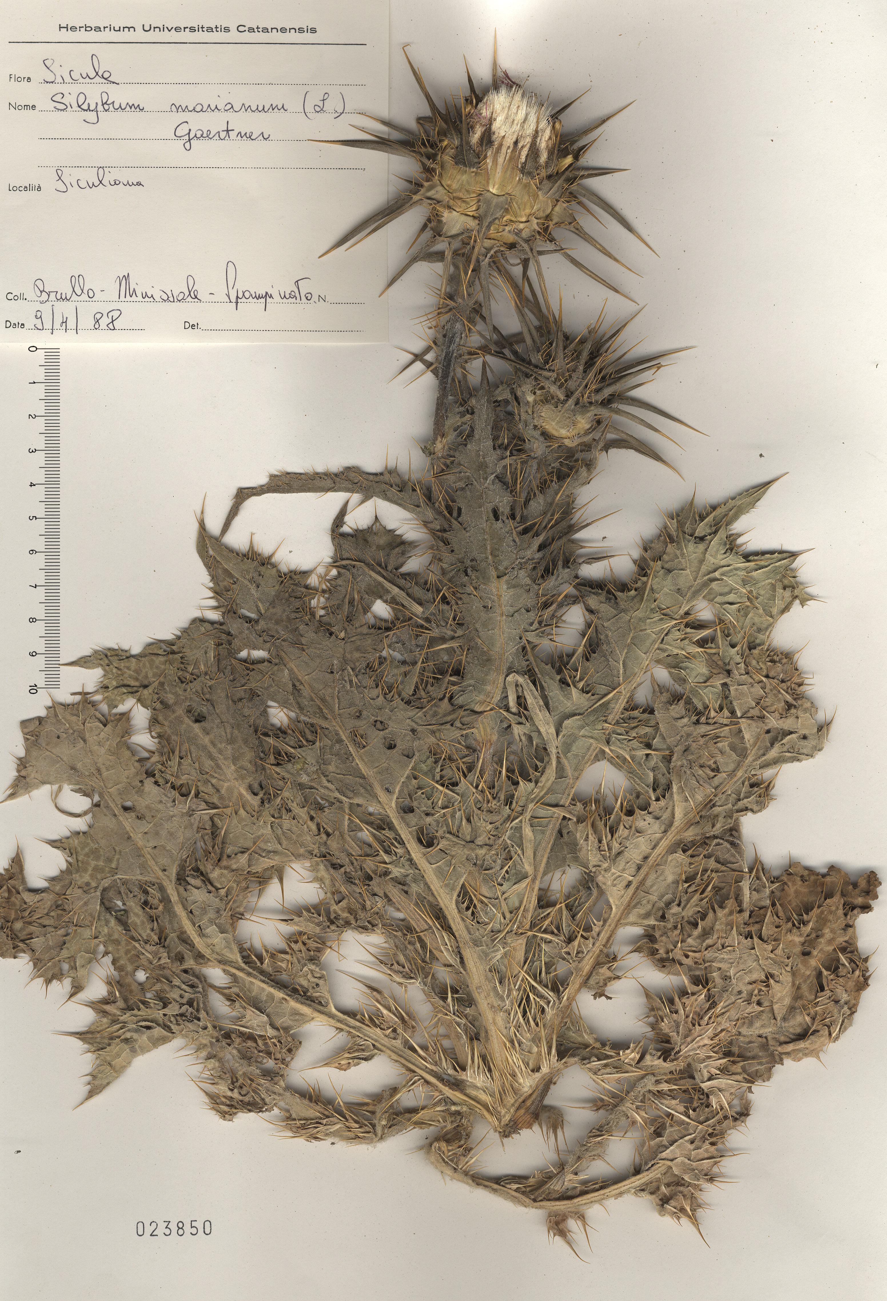 &copy; Hortus Botanicus Catinensis - Herb. sheet 23850<br>