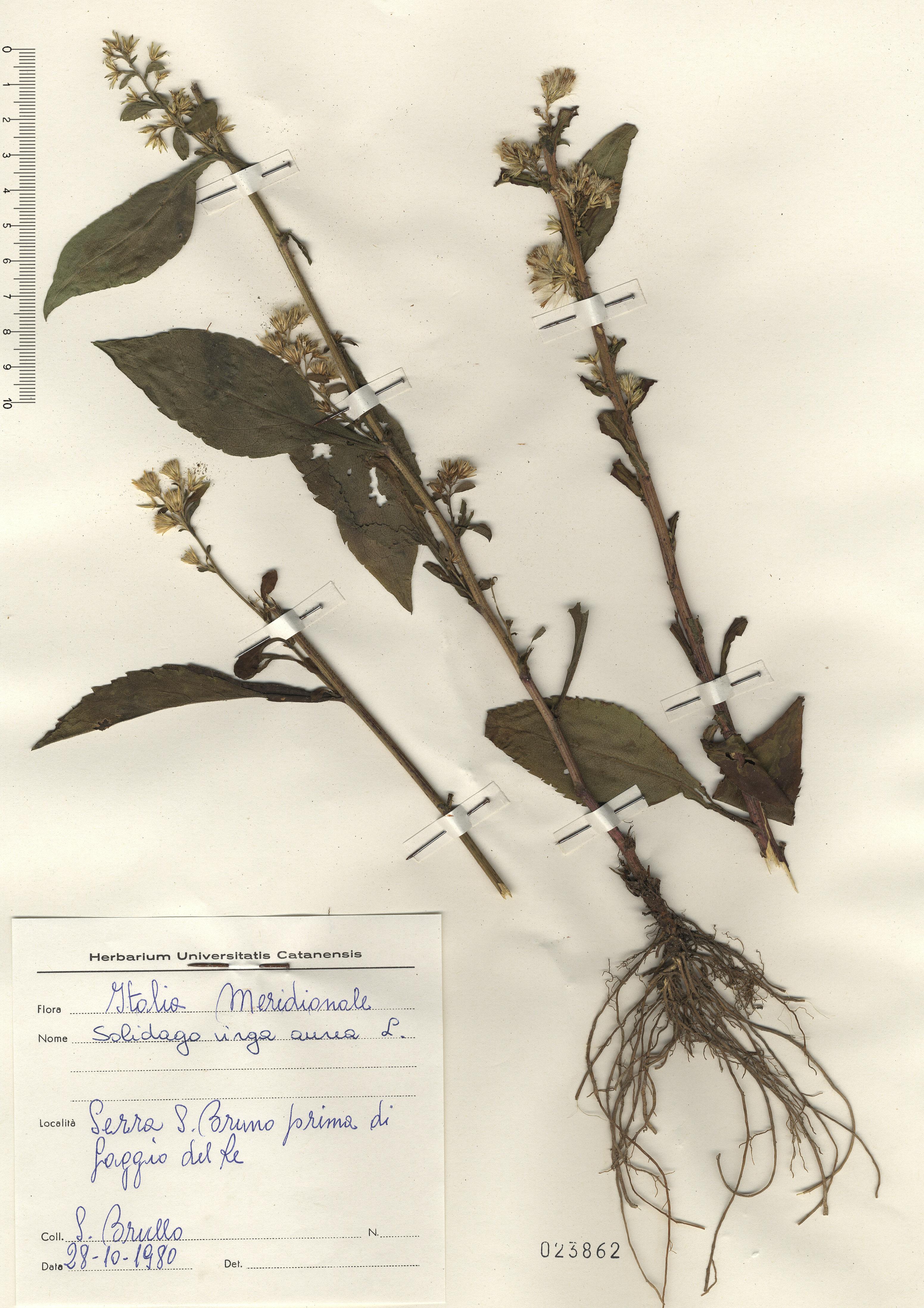 © Hortus Botanicus Catinensis - Herb. sheet 23862<br>