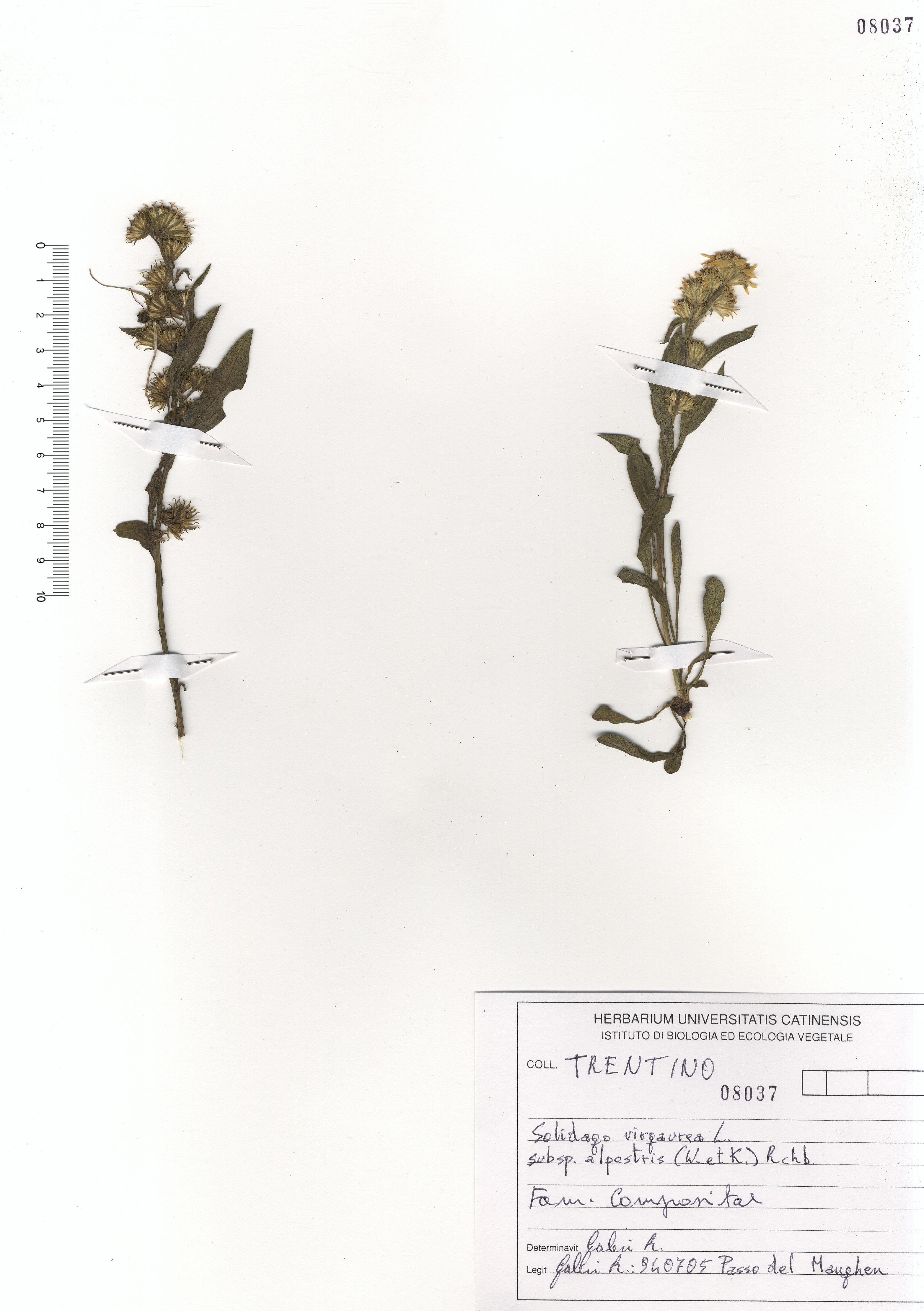© Hortus Botanicus Catinensis - Herb. sheet 108037<br>