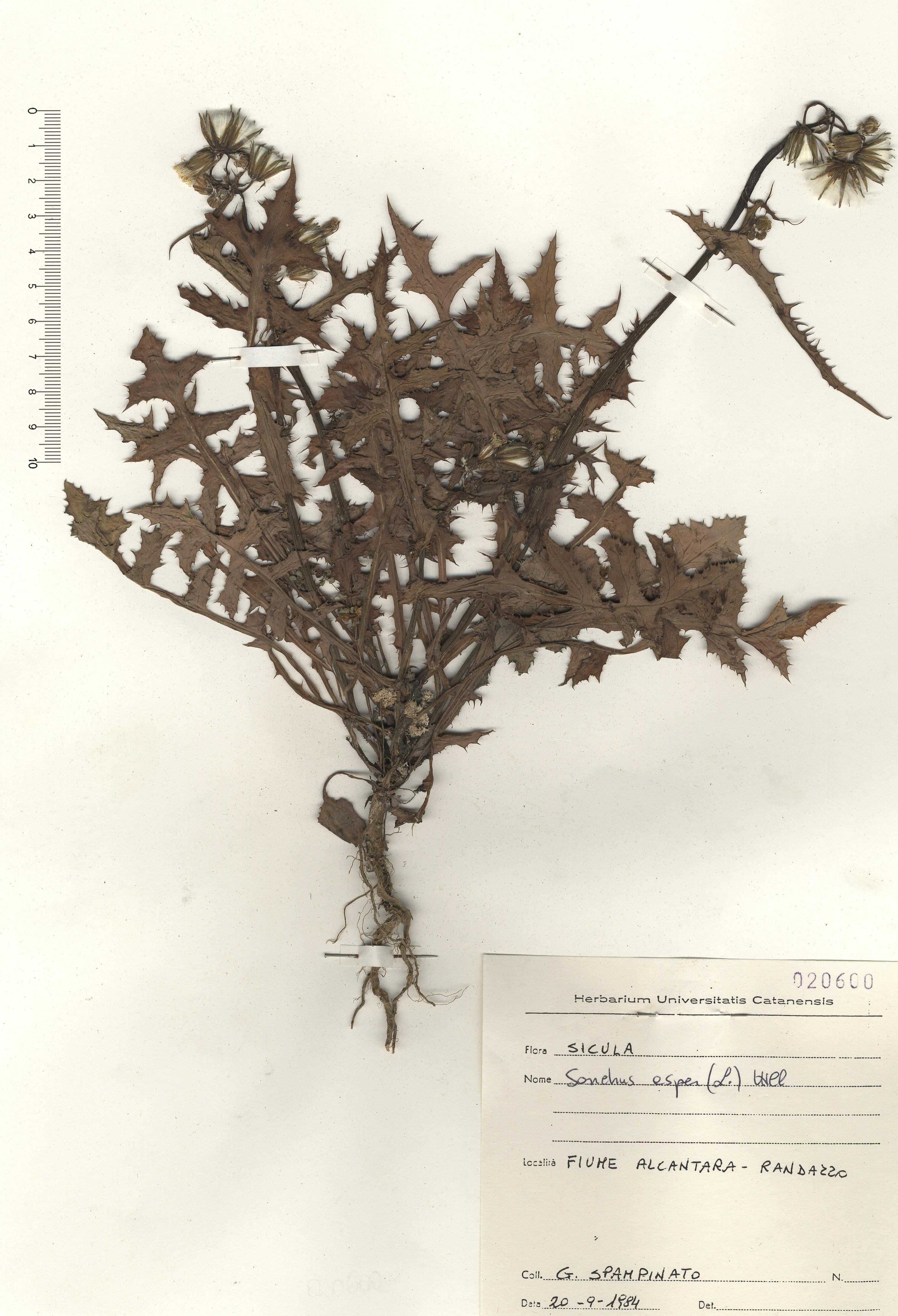 © Hortus Botanicus Catinensis - Herb. sheet 020600<br>