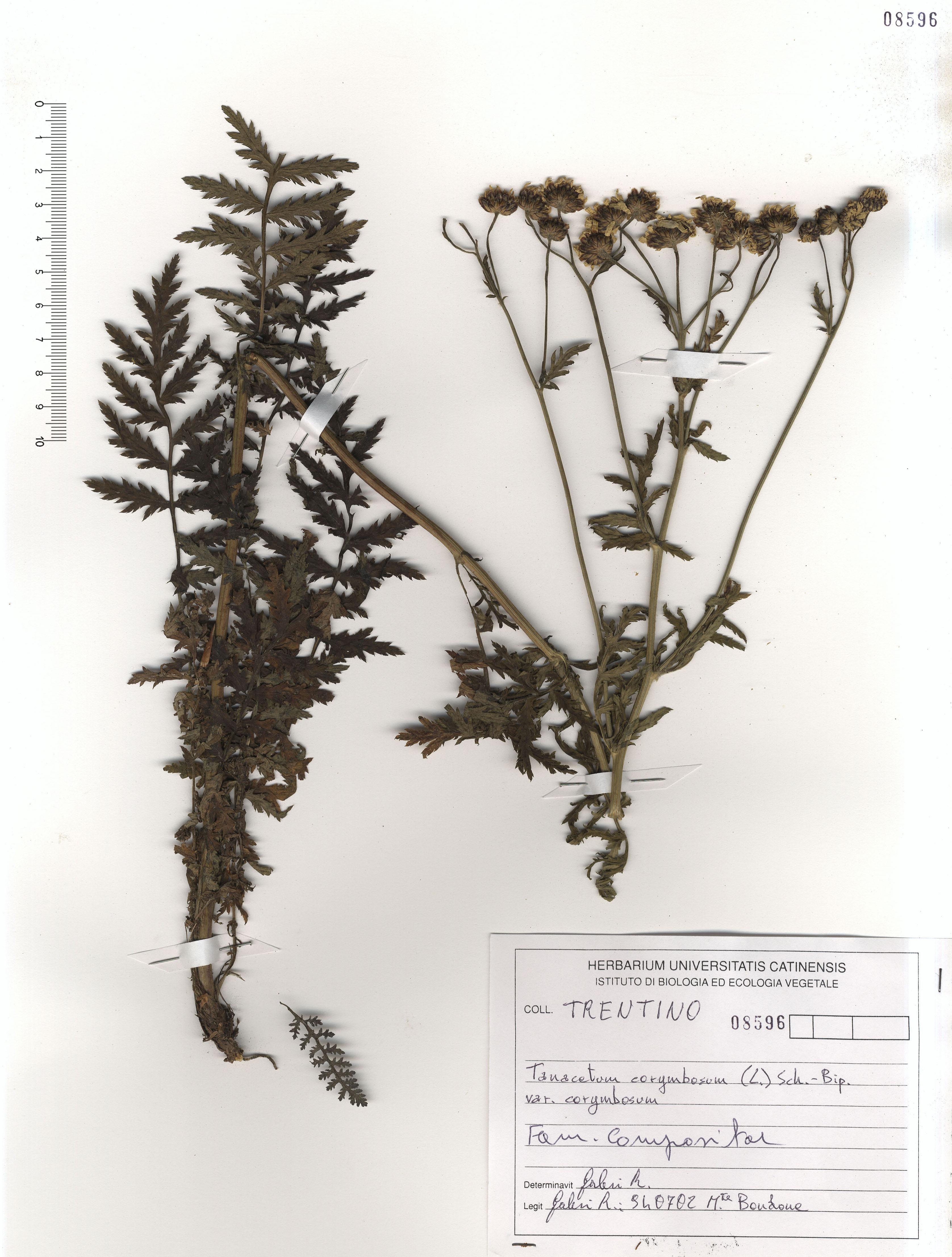© Hortus Botanicus Catinensis - Herb. sheet 108596<br>
