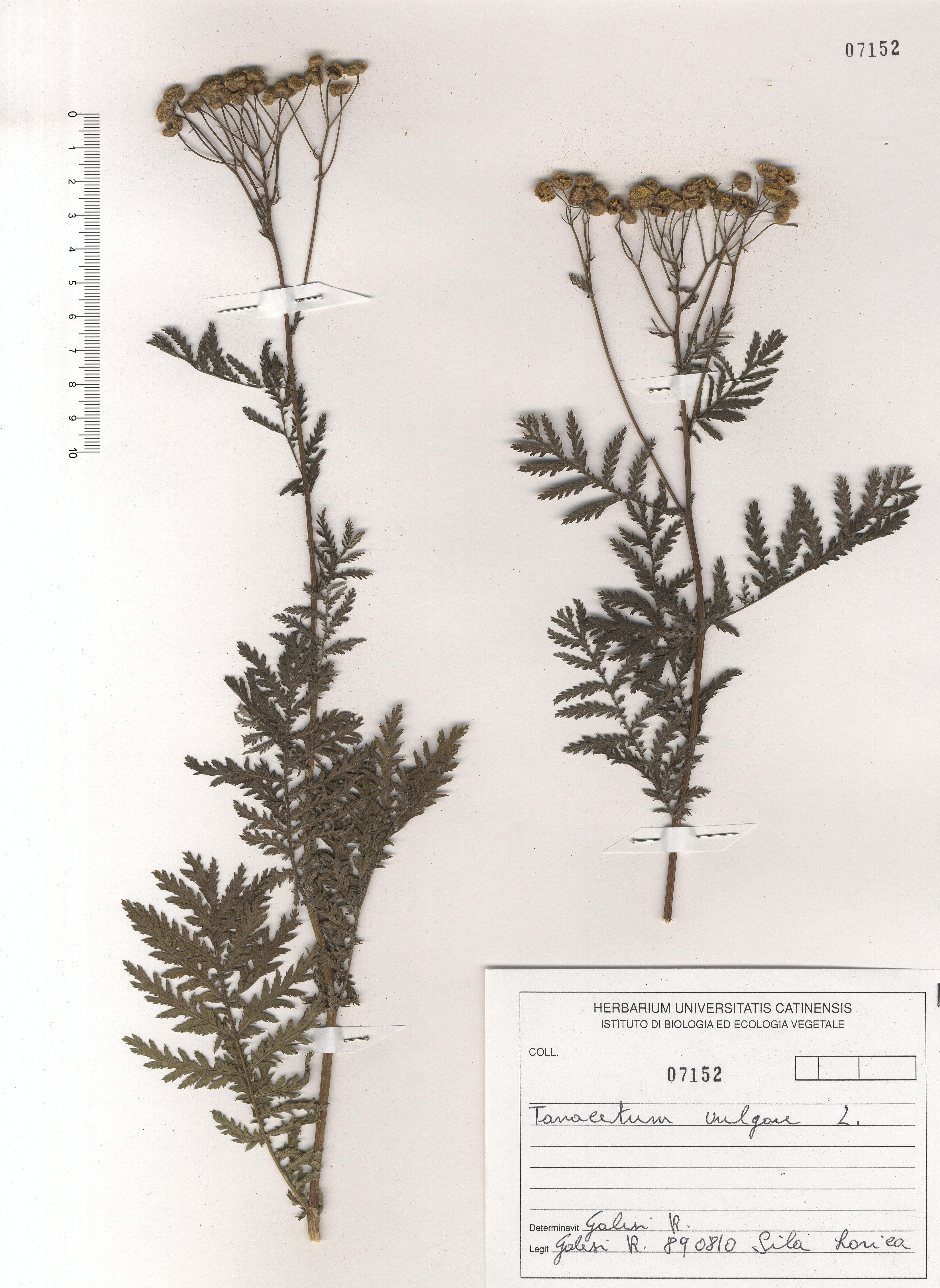 © Hortus Botanicus Catinensis - Herb. sheet 107152<br>