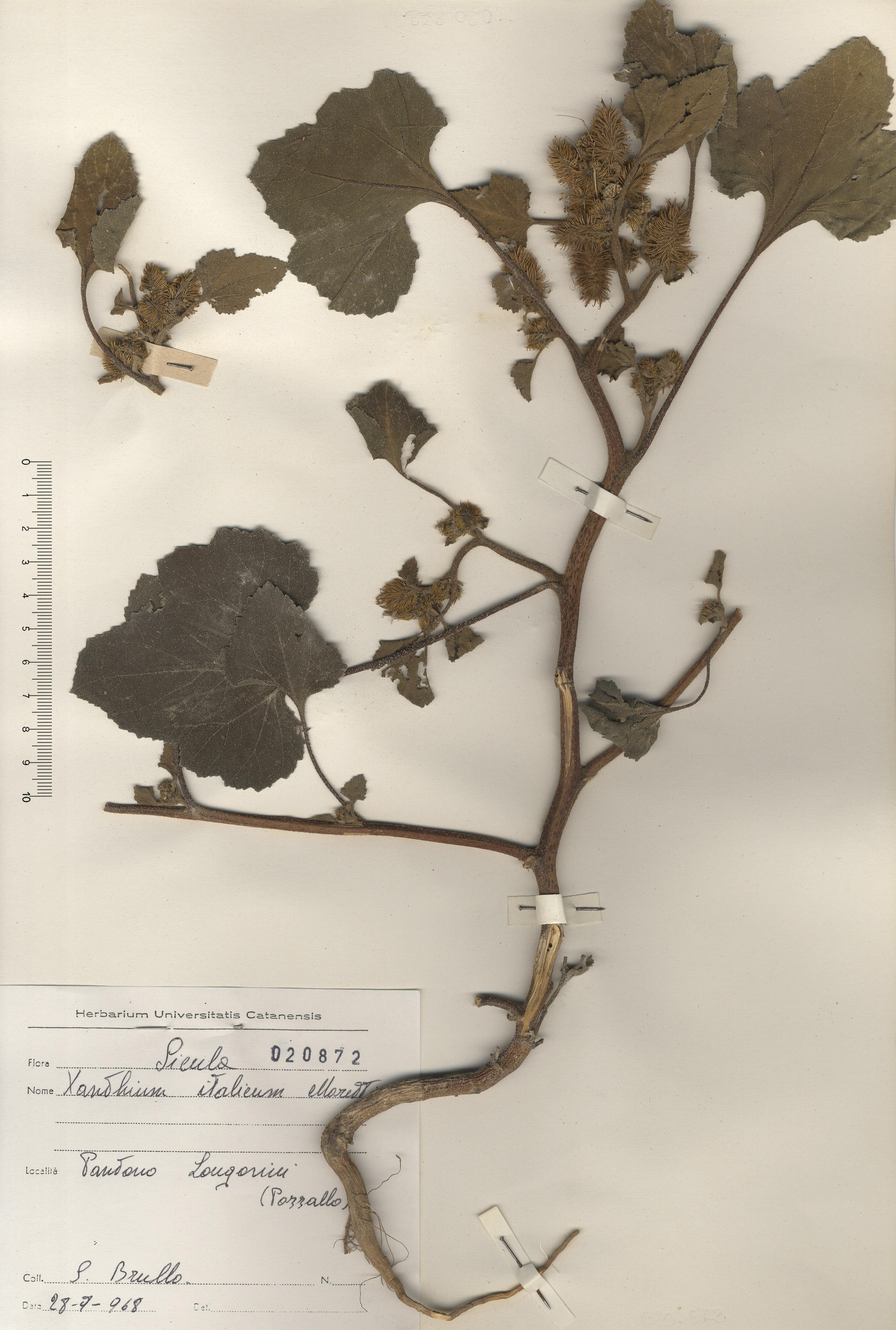 © Hortus Botanicus Catinensis - Herb. sheet 020872<br>