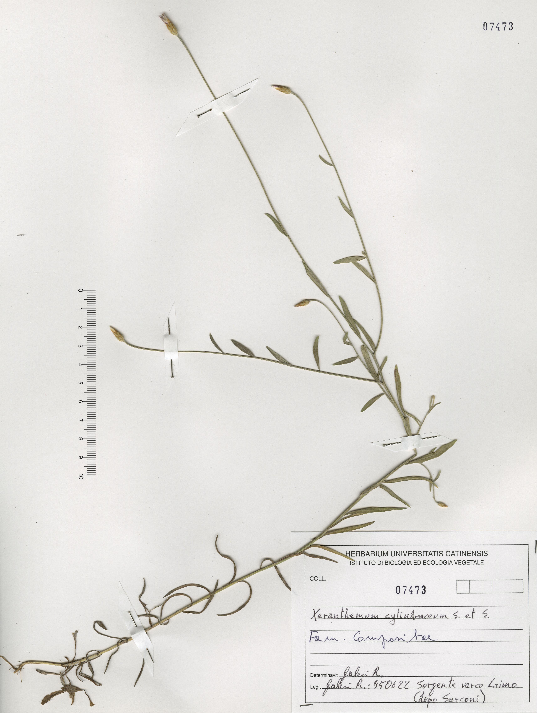© Hortus Botanicus Catinensis - Herb. sheet 107473<br>