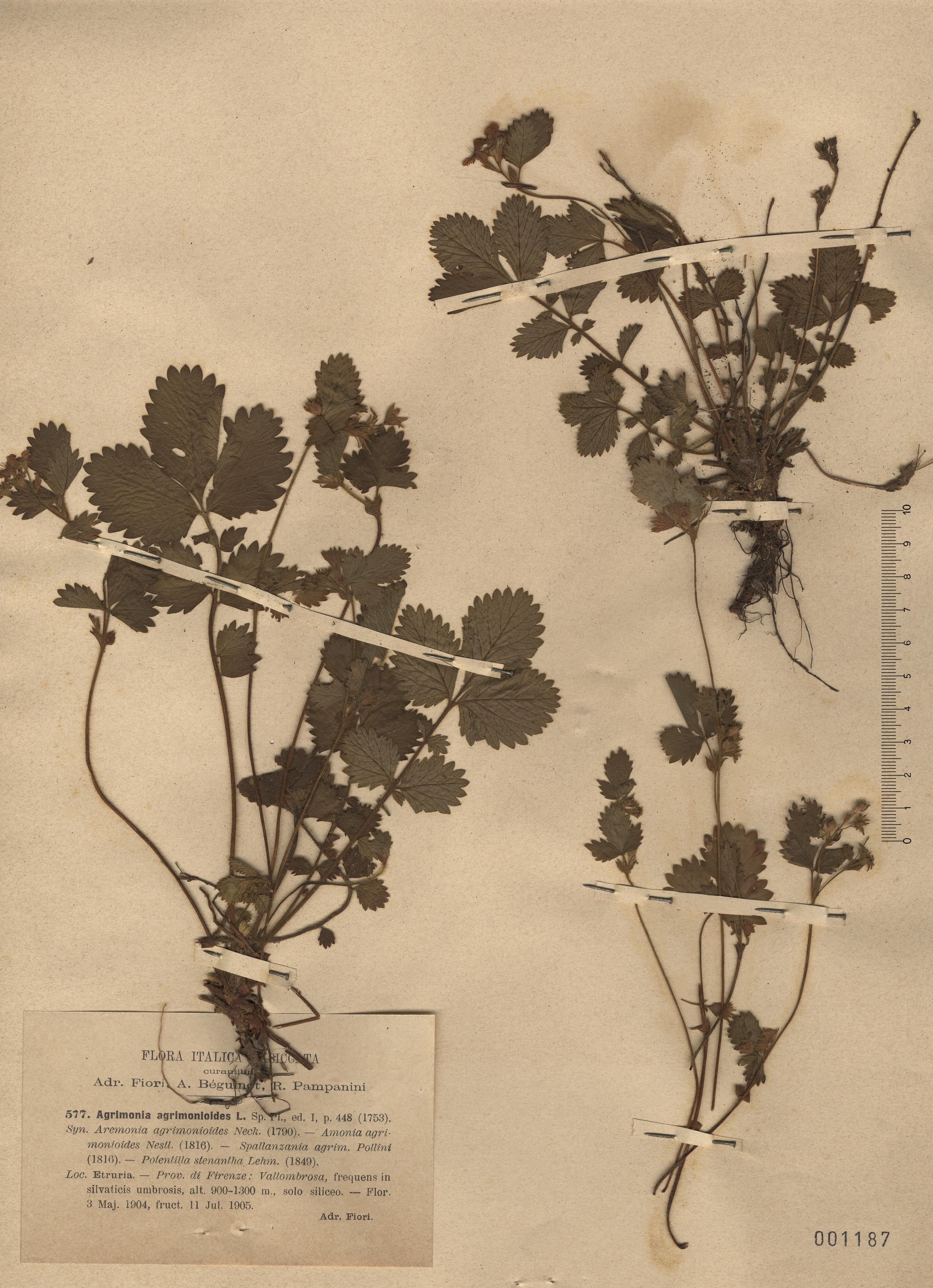 © Hortus Botanicus Catinensis - Herb. sheet 001187<br>