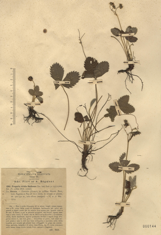 © Hortus Botanicus Catinensis - Herb. sheet 000144<br>