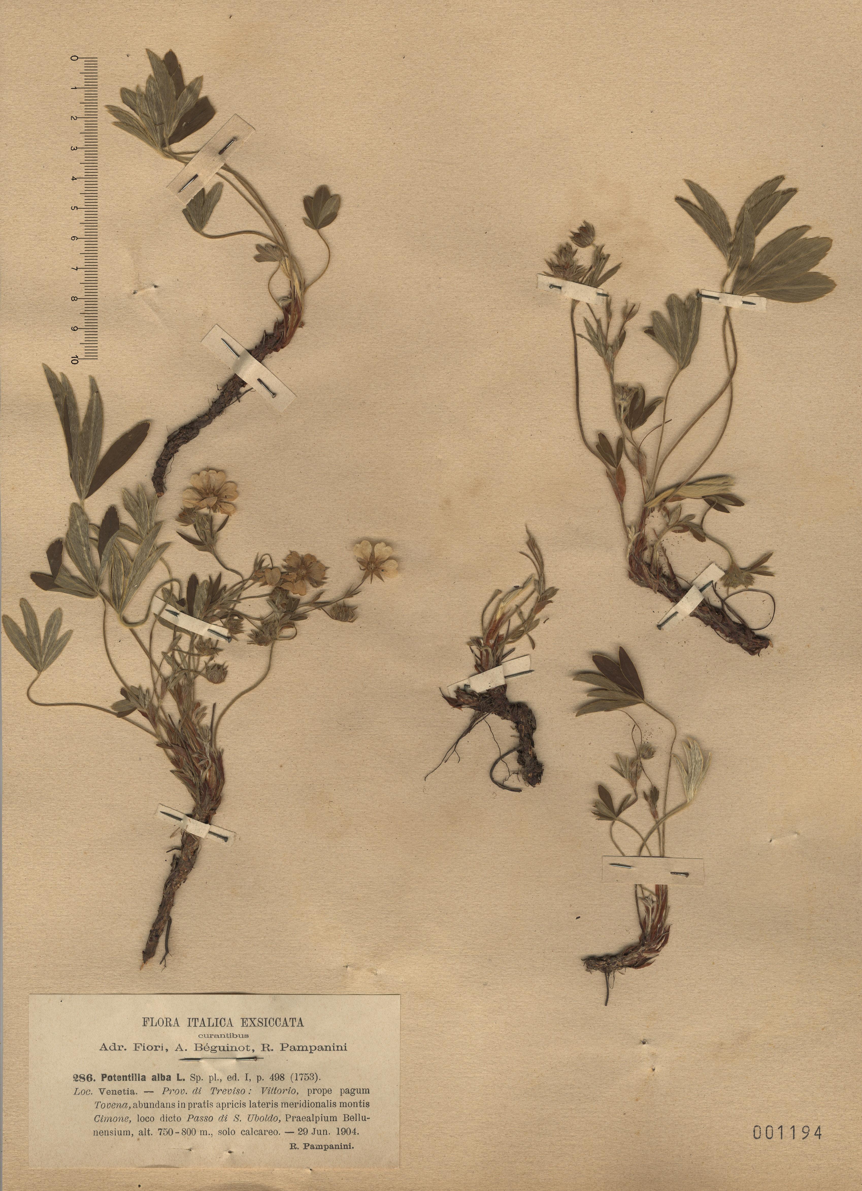 © Hortus Botanicus Catinensis - Herb. sheet 001194<br>