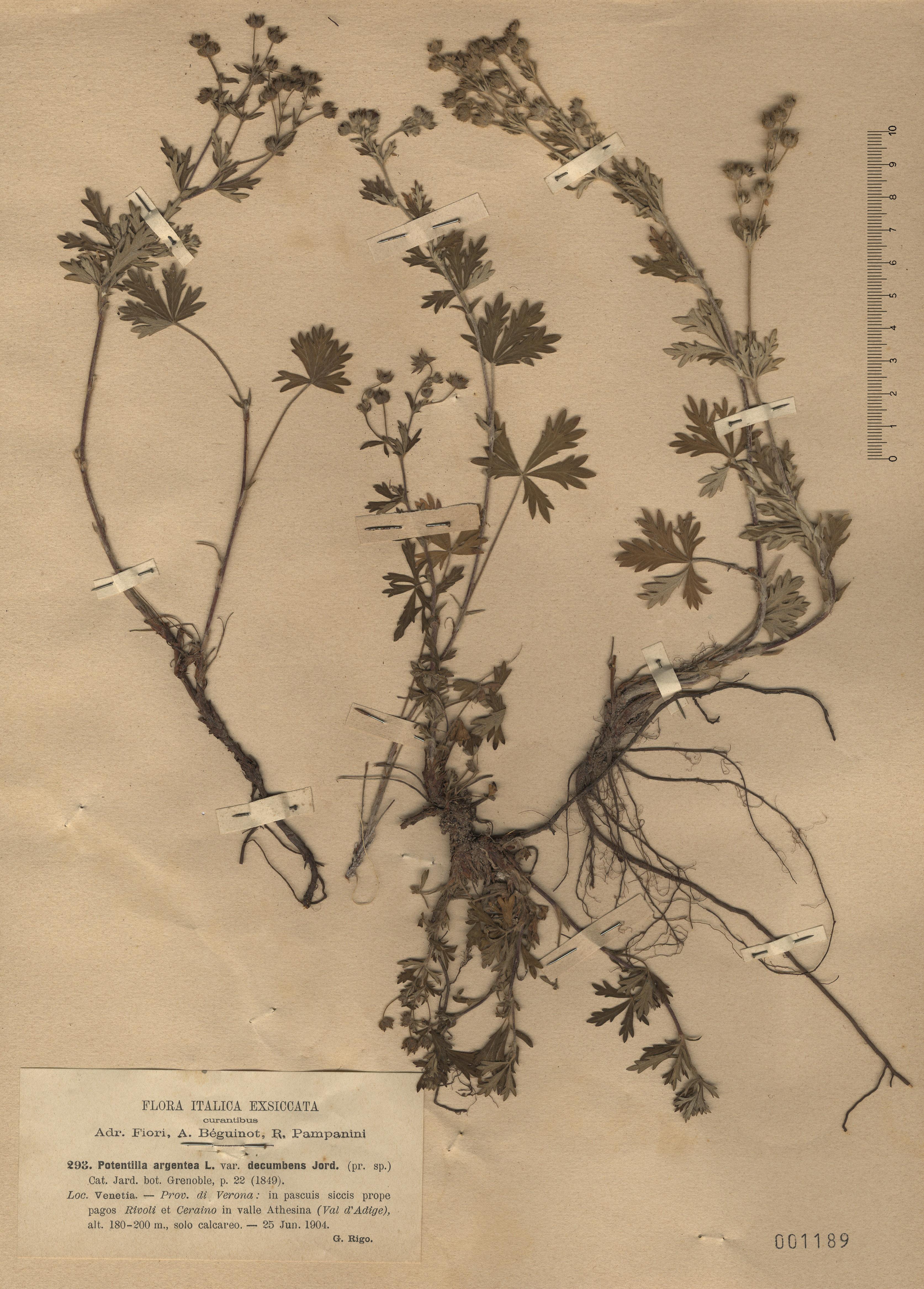 © Hortus Botanicus Catinensis - Herb. sheet 001189<br>