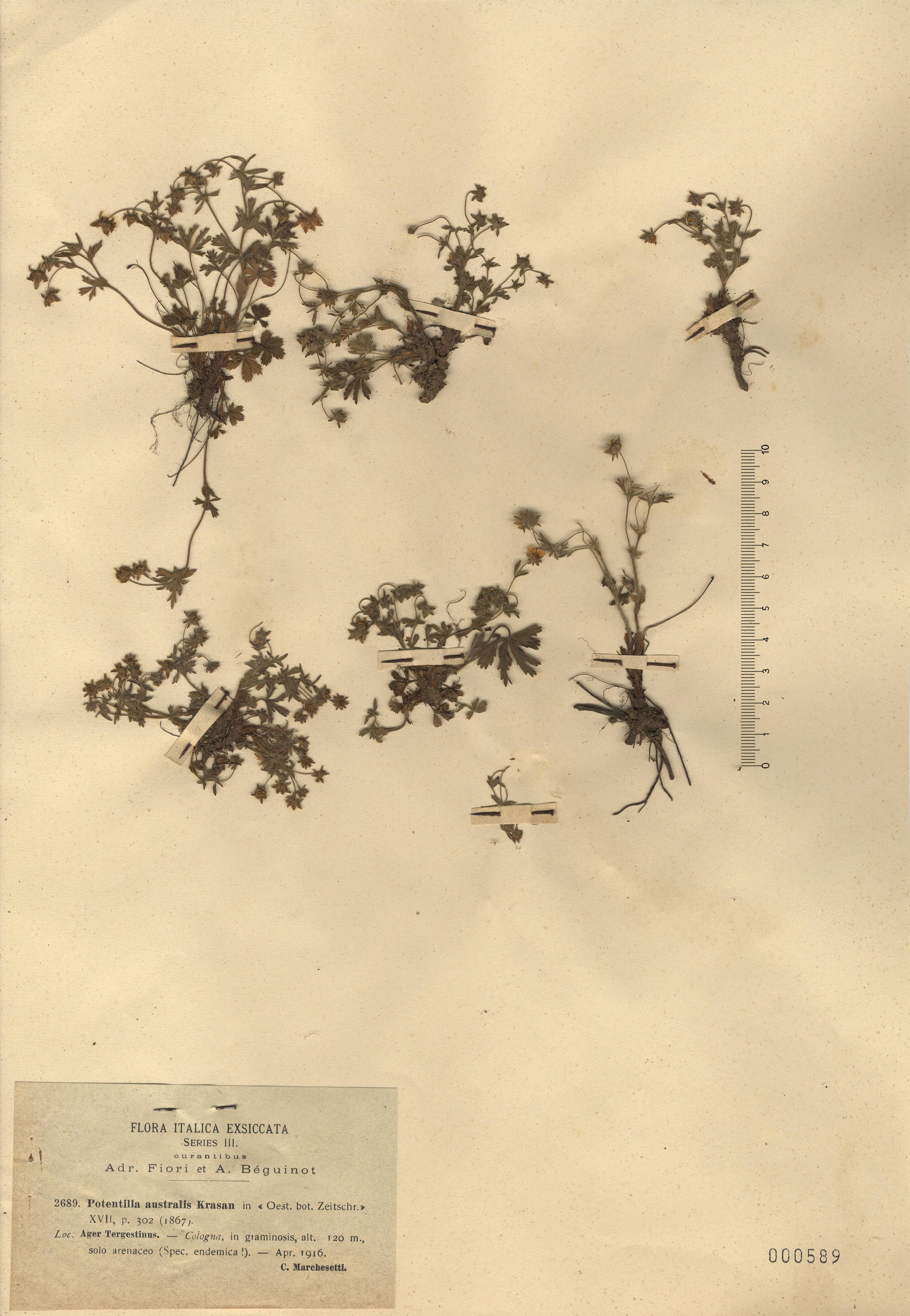 © Hortus Botanicus Catinensis - Herb. sheet 000589<br>