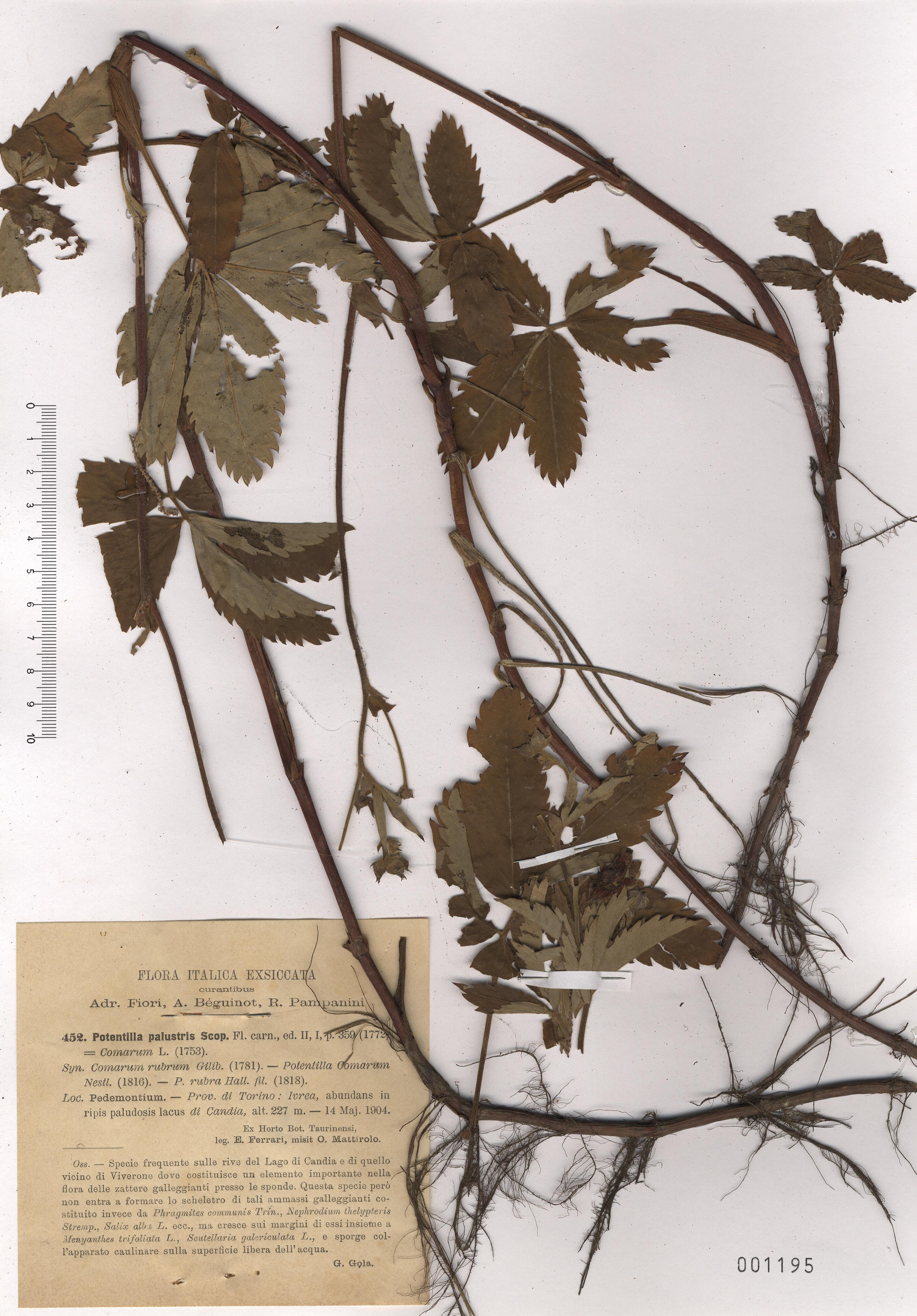 © Hortus Botanicus Catinensis - Herb. sheet 001195<br>