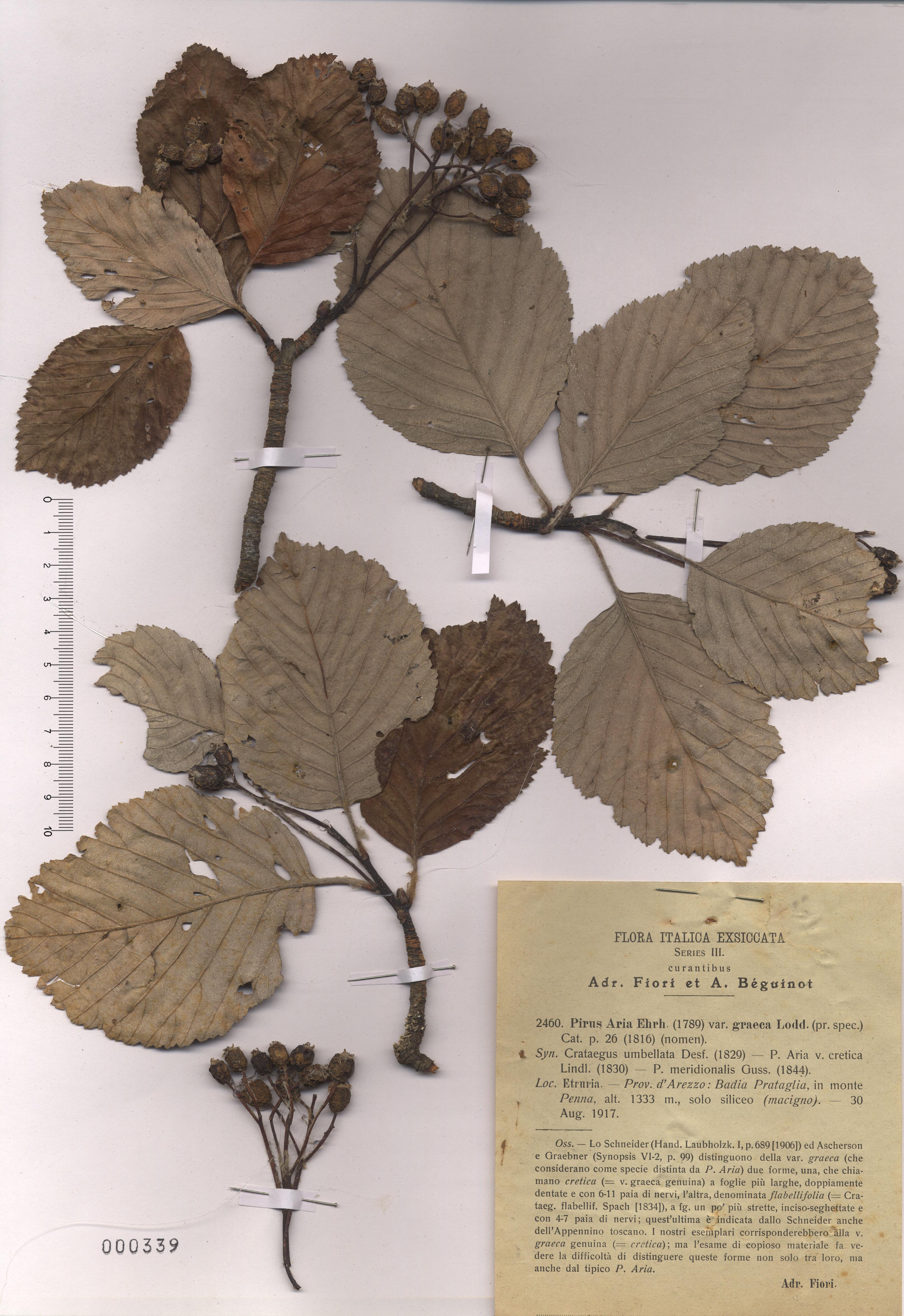 © Hortus Botanicus Catinensis - Herb. sheet 000339<br>